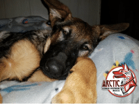 Yeah, I'm right there with you, let's sleep in!!: ARCTIC  GERMAN SHEPHERD  RESCUEV  s, Al Yeah, I'm right there with you, let's sleep in!!