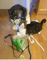 """Memes, The Office, and Trash: Are we the only one having a raccoon cat in the house? When ever I turn my back away for a sec Monty will try to get in the trash can in the office. It will always knock over and all the paper and plastic ends up on the floor and then he give me those eyes like """"it wasn't me"""" 😂 I guess he just wants my attention but I got to find another trash can he can't tip over 😄 Happy Monday everyone ☺️ MontyBoy.net CatDad RaccoonCat IWantAttentionDad HappyMonday"""