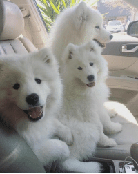 Memes, 🤖, and Ares: Are we there yet? #samoyed #shotgun
