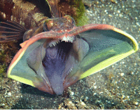 Nightmares. Such nightmares. This, friends, is the sarcastic fringehead, a territorial and hyper-aggressive fish that can be found on the North American coast of the Pacific, from San Francisco all the way down to Baja, California. Neoclinus blanchardi don't have any scales and can measure up to 30 centimetres (12 inches) long. When anything gets close to its burrow, the sarcastic fringehead goes ham, opening its mega jaws and clamping down on intruders with its needle-like teeth. So, it may be a while before we go in the ocean again. Photo cred: Adriane Honerbrink: area Nightmares. Such nightmares. This, friends, is the sarcastic fringehead, a territorial and hyper-aggressive fish that can be found on the North American coast of the Pacific, from San Francisco all the way down to Baja, California. Neoclinus blanchardi don't have any scales and can measure up to 30 centimetres (12 inches) long. When anything gets close to its burrow, the sarcastic fringehead goes ham, opening its mega jaws and clamping down on intruders with its needle-like teeth. So, it may be a while before we go in the ocean again. Photo cred: Adriane Honerbrink