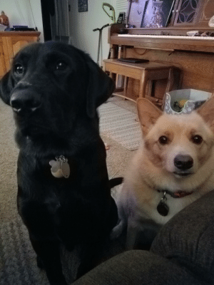 Ares the black lab and Winston the Shiba Inu mix 😊 Winston just turned 3 and Ares is 11 months: Ares the black lab and Winston the Shiba Inu mix 😊 Winston just turned 3 and Ares is 11 months