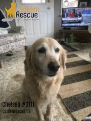 """Blade, Chelsea, and Children: aRescue  alden  Chelsea #3111  goldenrescue.ca AVAILABLE FOR ADOPTION ~ CHELSEA #3111  (singing) """"Woke up it was a Chelsea morning and the first thing that I heard…"""" …was my amazing foster mom saying """"Good morning Chelsea"""" and I think to myself that it is indeed a good morning as I'm safe and loved.  The good people of GR rescued me ~ what a lucky girl I am.  Let me introduce myself.  As you must have figured out by now, my name is Chelsea and I'm around ten years old.  I'm a happy, grateful girl who not only wags her tail when I'm around kind humans but I rotate it like a helicopter blade ~ that's how happy I am these days.  I simply love people, adults, and children of all ages.  I'm not great with dogs but it depends on the dog.  I'm not in love with small yappy dogs for example and I certainly pull on my leash if I see another dog on my walks so interacting with my canine cousins is a work-in-progress.    To read more about Chelsea please visit her page on our website https://www.goldenrescue.ca/goldens/3111-chelsea/"""
