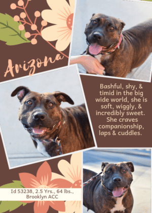 "Being Alone, Beautiful, and Bones: Arizene  Bashful, shy,&  timid in the big  wide world, she is  soft, wiggly,&  incredibly sweet.  She craves  companionship,  laps &cuddles.  Id 53238, 2.5 Yrs., 64 Ibs.,  Brooklyn ACC TO BE KILLED 7/9/19  Meet chunky girl Arizona <3   ARIZONA is simply stunning. If you can get by her sparkling copper eyes to her rich mahogany brindle coat, you will find a beautiful heart. She's only a youngster, 2.5 years old (if that!) and she has only love in her heart for everyone she meets. She puts so much of her heart and soul into her family, and all she asks is that they spend quality time with her, play with her, and not leave her for hours on end all alone. She misses her people, and what's wrong with that? Bashful, a little bit shy, she quickly warms and then wants to crawl into a lap, cuddle and get comforted. After all, she has lost, not once, but TWICE, everyone she loves. Will you foster or adopt her now so her life can finally begin? She is too sweet, too young, and too special to sit, alone and lonely, at the shelter. Don't wait till she gets sick with the dreaded shelter cold, hurry and MESSAGE our page or email us at MustLoveDogsNYC@gmail.com for assistance fostering or adopting Arizona now.  A volunteer writes:  Arizona is all heart! She has the warmest amber eyes in the history of forever and her quietly wiggly cage presence gets me every time! She was very bashful when she first arrived (squeaky toys were to be approached with caution and loud trucks turned her into a pancake!) but I think her brave to timid ratio now favors the former. There are some sensitive spots she'd rather not be pet, but she clearly craves human companionship and shows glimpses of being super cuddly and affectionate. She shimmies around when I pet her to ensure I get all of her ""spots"", will rest her entire upper half on my lap, ever-so-gently props her paws on me and diligently kisses my face, and even makes little contented grunts (the cutest!). Not only is she the sweetest, she's such a good girl: she's very responsive on leash, seems housebroken, knows ""sit"" and ""down"", and she does submissive grins when she's excited (THE CUTEST!!). She needs a cozy couch and someone to love her... please come meet her at Brooklyn ACC!  A Staff Member Notes:  Arizona has been super soft, social and wiggly with people during her time in the care center.   A volunteer writes in January 2019: ""Arizona is a skinny minnie that is all heart! She has the warmest amber eyes in the history of forever and her quietly wiggly cage presence gets me every time! She's a little more bashful when out and about in the big scary world (even squeaky toys are to be approached with caution!) but clearly craves companionship. She can be coached through situations that turn her into a pancake (like walking by loud trucks!) with treats and lots of baby talk and seems to be getting braver by the minute. There are some sensitive spots she'd rather not be pet, but she shows glimpses of being super cuddly and affectionate: she shimmies around when I pet her to ensure I get all of her ""spots"", will rest her entire upper half on my lap, and even makes little contented grunts (the cutest!). She needs a cozy couch and someone to love her.. please come meet her at Brooklyn ACC!""  MY MOVIES!  CURRENT STAY Arizona - you speak my language  https://www.youtube.com/watch?v=jyHnazjqZtY  FIRST STAY Arizona - often bashful, always sweet <3  https://www.youtube.com/watch?v=vKf0VHKCIb0  ARIZONA, ID # 53238 @ 2 Yrs. Old, 64.8 lbs., Unaltered Female Brooklyn ACC, Medium Mixed Breed, Brown Brindle / White  Owner Surrender Reason: Return  Owner Surrender Reason: surrendered by her owner due to behavior concerns  Shelter Assessment Rating: NEW HOPE ONLY  No children (under 13) Single-pet home Recommend no dog parks Place with a New Hope partner Medical Behavior Rating: 3. Yellow  OWNER SURRENDER NOTES - BASIC INFORMATION: Arizona is a brown brindle female dog that was surrendered by her owner due to behavior concerns. The owner stated that she adopted Arizona from the ACC 4 1/2 months ago. Arizona previously lived with 2 adults and 2 children (ages 10 and 8). When around strangers she is friendly and outgoing. Arizona will hard bark at strangers that approache her home. When playing with adults she is obsessive. Arizona has spent time in the home around 2 children ages 8 and 10. When around them she was relaxed and playful. When playing with children, Arizona can also be obsessive. Arizona has not spent time in the home with dogs. Her owner stated that if Arizona see's another dog on the side walk or in the front of her home she will hard bark growl and lunge. Arizona has not spent time in the home with cats so it is unknown how she will react. If someone was to touch her food treats or toys she will growl. Arizona does not have a bite history, she is partially housetrained and her previous owner describes her energy level as high.   Other Notes: Owner stated that when left alone in the home alone Arizona will poop and pee on the floor. Arizona will also destroy thing left on the floor like shoes and books. Owner stated that Arizona becomes anxious when left alone. Arizona has never been crated nor has she been left in the yard so it is unknown how she will react. She is not bothered if she is pushed off the furniture restrained or disturbed while she sleeps. She also isn't bothered if she is bathed brushed or has her nails trimmed. Arizona has gone to the groomer several times and she does well. Arizona has never had any medical issues and has no known medical concerns.   For a New Family to Know: Owner described Arizona as Friendly affectionate, playful,excitable and anxious at times. When at home she likes to follow her owner around or be in the same room. She likes to play with balls stuffed squeaky and chew bones. She has been kept mostly indoors and eats both wet and dry dog food. When using the bathroom she will go outside on the grass or cement but she has frequent accidents when left alone. Arizona knows how sit,come, and lay down. She is used to brisk walks on the leash. When on the leash she pulls hard.  INTAKE NOTES – DATE OF INTAKE, 6/20/19:  During intake Arizona was shy and was side eyeing the counselor. After a few moments she warmed up and jumped on the counselor wagging her tail. She allowed the counselor to leash her and take her picture with no problem.  Other: Previous owner reported Arizona to display separation anxiety and escalates to exhibiting destructive behavior toward household items when left alone in the home. When in the yard, she is reported to hard bark, growl and lunge towards dogs, children and joggers who walk by.   SHELTER ASSESSMENT SUMMARIES – DATE OF ASSESSMENT, 6/21/2019:  Leash Walking Strength and pulling: No pulling Reactivity to humans: None Reactivity to dogs: None Leash walking comments:  Sociability Loose in room (15-20 seconds): Soft, loose and wiggly, engages in play with handlers, leans into and accepts all contact, panting, tail wagging, jumps up softly onto handler soliciting attention, play bows Call over: Approaches readily, soft, loose and wiggly, tail wagging Sociability comments:   Handling  Soft handling: Soft and loose, tail wagging, some panting, tail wagging, ears neutral, leans into and accepts all contact Exuberant handling: Soft and loose, tail wagging, some panting, tail wagging, ears neutral, leans into and accepts all contact Handling comments:  Arousal Jog: Engages in play with handler, soft and loose Arousal comments:   Knock Knock Comments: Whines somewhat when assistant exits; No response to knock; Approaches assistant readily, soft and loose, soliciting attention  Toy Toy comments: No interest; Fearful of assess-a-hand  PLAYGROUP NOTES - DOG TO DOG SUMMARIES:  According to Arizona's previous owner, Arizona did not live with another dog but she did display reactivity on walks as well as in the house, through the window. In her previous stay, Arizona displayed assertive behavior with the novel males and tolerance for warning behavior (bare teeth). During her current stay she initially was flirtatious and assertive but as she continued to participate in group, she became reactive-snarling and lunging. Due to her overall behavior at home and in the pens, the Behavior Department believes that Arizona would be most comfortable as the only dog in the home.   6/21: Arizona tip toes when greeting the novel female dog. She offers her rear then moves away.  FIRST STAY  Arizona was surrendered as a stray so his/her past behavior around dogs is unknown.   1/24: When off leash at the Care Center, Arizona is introduced to a novel male. She greets him appropriately and initially wanders the pens. As the session progresses, Arizona checks in with the male with assertive posturing and positions herself to mount him. She is interrupted by handlers and she walks away.   1/2-2/5: Arizona was utilized as a greeter today. She tolerated a tense male, and chose to walk away. When a nervous novel male bared his teeth, Arizona was slow to respond to his warnings.   FUN FACTS:  Summary (1): Arizona understands the cues for ""sit,"" ""come,"" and ""lay down.""   INTAKE BEHAVIOR: Date of intake: 20-Jun-2019 Summary: Initially shy, whale eyed; Warmed up, jumped up, tail wagging; Allowed all handling  MEDICAL BEHAVIOR: Date of initial: 21-Jun-2019 Summary: Tense, crying; Muzzled as a precaution  ENERGY LEVEL: Arizona has been observed to exhibit a medium-high level of energy during her interactions in the care center. We cannot be certain of her behavior in a home environment, but we recommend that she be provided daily mental and physical stimulation as an outlet for her energy.  BEHAVIOR DETERMINATION: New Hope Only Behavior Asilomar TM - Treatable-Manageable  Recommendations:  No children (under 13) Single-pet home Recommend no dog parks Place with a New Hope partner  Recommendations comments:  No children (under 13): Due to Arizona's reported resource guarding, separation anxiety, destructive behavior, and on-leash reactivity, as well as her observed handling sensitivity and fearful behavior, we feel she would be best set up to succeed in an adult-only home at this time.   Single-Pet Only: Due to the concerning behaviors display here in the Care Center (see DOG-DOG SUMMARY) and the concerns noted in the home, we feel that Arizona should be the only resident dog in the home until her behavior towards other dogs can be further addressed once she has adequate time to decompress from the shelter environment. The Behavior Department recommends reward-based, force-free training only to desensitize and counter-conditioning using toys or treats to help her associate other dogs with positive experiences.  Recommend no dog parks- Due to the concerning behaviors that Arizona has shown during playgroup (see DOG-DOG BEHAVIOR SUMMARY), we feel that Arizona should not visit dog parks until she has had the opportunity to learn appropriate social skills when interacting with other dogs. The Behavior Department recommends that Arizona receive dog socialization sessions under the supervision of a certified trainer or behaviorist.   Place with a New Hope partner: Although she displays social behavior when interacting with staff members, Arizona has been reported to exhibit challenging behaviors in a previous home environment. We feel she would be best set up to succeed if placed with an experienced rescue partner who can allow her to acclimate and decompress at her own pace. Force-free, reward-based training only is advised when introducing or exposing Arizona to new and unfamiliar situations, as well as utilizing guidance from a qualified, professional trainer/behaviorist.  Potential challenges:  Resource guarding Destructive behavior Handling/touch sensitivity Fearful Separation anxiety On-leash reactivity/barrier frustration  Potential challenges comments:  Resource guarding: Previous owner reported Arizona to growl if her food, treats or toys are touched. Please refer to the handout for Resource guarding.  Separation anxiety 