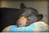 Animals, Beautiful, and Life: ARK  www.noahs-arK. Have you ever seen a more beautiful bear than Baloo? Caregivers have been keeping an extra close eye on him to make sure he's adapting to life without his tiger brother, Shere Khan. One thing that makes Baloo VERY happy are his burlap pillows, which we make by stuffing donated packing paper into recycled coffee bean bags that are donated, too! Each donation really makes an impact in the lives of the rescued animals that call Noah Ark their forever home. Whether you give financially, volunteer, drop off donations, shop from one of our online wish lists or give to Noah's Ark in other ways, THANK YOU!! We couldn't do this without your support <3