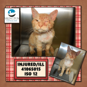 Alive, Cats, and Facebook: ARLINGTON  CATS ALIVE!  INJURED/ILL  41065015  ISo 12 This poor orange tabby kitty in Arlington TX has an injury & needs rescue/vet care with all speed! Pledge/rescue/foster! To rescue email nsanimal.rescue@arlingtontx.gov Phone: 817-459-5898 URGENT!  https://www.facebook.com/arlingtoncatsalive/photos/a.661532600723162/1134667356743015/?type=3&theater  Via Arlington Cats Alive   PLEASE HELP. This poor kitty came into the shelter yesterday, and we believe he is ill and/or injured. He'll most likely be on the urgent/rescue only list soon. When that happens this kitty will need to get out of the shelter IMMEDIATELY!! Please share, pledge, or foster if you can help. Thank you!  TOTAL PLEDGES: $148 Kaz Farish $2 Laura Wesner $7 Linda Wilson $3 Dawn M Kushner $5 Rhonda Attig $5 Heidi Price $10 Mari Asaro $10 Matt Cooper $25 Julie Bengtson $6  Jeri Almendarez $10 Irene Rotondo $10 Michael Guenzler $15 Jackie Johnson $15 Lori Mayo Lozano King $25  ISO 12 ID: 41065015  Unknown. DSH. Red/White/Tabby. 1 year 6 months 1 day old. 8.8 lbs. Stray. Unaltered.  Intake date: 3/14/2019  To send a rescue tag please email: nsanimal.rescue@arlingtontx.gov  Arlington Animal Services 1000 SE Green Oaks, Arlington, Texas 76018 Phone: 817-459-5898 Shelter hours are Monday through Friday 10:00 AM to 6:00 PM Saturdays 10:00 AM to 4:00 PM Closed Sundays and Holidays