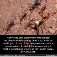 mindblowingfactz:  Army ants can accidentally misinterpret the chemical trails left by other ants and start walking in circles. If too many members of the colony join in, it can kill the whole colony in what is sometimes known as the 'Death Spiral.' or Ant Milling.'Photo :  Alex Wild / wikimedia: Army ants can accidentally misinterpret  the chemical trails left by other ants and start  walking in circles. If too many members of the  colony join in, it can kill the whole colony in  what is sometimes known as the 'Death Spiral.  or 'Ant Milling  X/  Photo courtesy of Alex Wild / wikimedia  @factsweird mindblowingfactz:  Army ants can accidentally misinterpret the chemical trails left by other ants and start walking in circles. If too many members of the colony join in, it can kill the whole colony in what is sometimes known as the 'Death Spiral.' or Ant Milling.'Photo :  Alex Wild / wikimedia