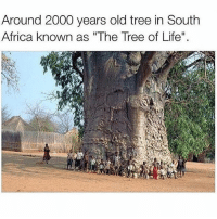 """This is awesome 👌: Around 2000 years old tree in South  Africa known as """"The Tree of Life"""". This is awesome 👌"""