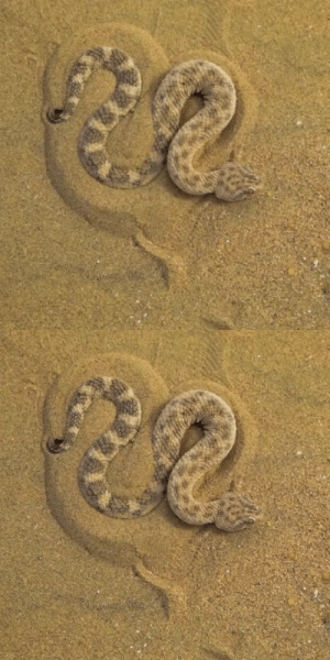 art-is-the-weaponcreate-destroy:  secretladyspider:  sixpenceee: How a Sahara sand viper conceals itself to prepare for an ambush. Viau/Sapulinjing  This is how I wiggle in to the covers when I sleep: art-is-the-weaponcreate-destroy:  secretladyspider:  sixpenceee: How a Sahara sand viper conceals itself to prepare for an ambush. Viau/Sapulinjing  This is how I wiggle in to the covers when I sleep