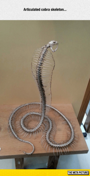 Tumblr, Blog, and Com: Articulated cobra skeleton...  ir  THE META PICTURE awesomesthesia:  It's Even More Terrifying