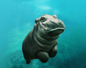 Cute, Definition, and Baby: AS If you don't find this baby hippopotamus cute, I don't know what your definition of cute is.