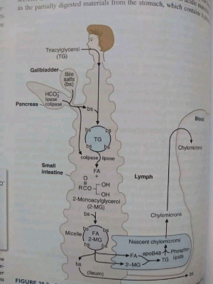 Not a map, but still: as the partially digested materials from the stomach, which contains hyd  vateril  er  ti-  ne  Triacylglycerol  (TG)  Gallbladder-  Bile  salts  (bs)  НСОЗ  lipase  Pancreas colipase  bs  Blood  bs  bs  TG  Chylomicrons  bs  bs  colipase) lipase  Small  FA  intestine  Lymph  I3I  ОН  RCO  OH  2-Monoacylglycerol  (2-MG)  Chylomicrons  bs  bs  bs  Micelle  FA  2-MG  bs  Nascent chylomicrons  Phospho-  bs  FA apoB48  TG lipids  he  2-MG  bs  e-  bs  (lleum)  er  FIGURF 20 1  ts Not a map, but still