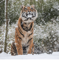 Memes, Home, and London: As the UK is gripped by a freezing spell dubbed the Beast from the East, creatures great and small are braving the snow blizzards and biting winds. Sumatran tigers Melati and Achilles (mother and cub) took in the recent snowfall at their Tiger Territory home at ZSL London Zoo. PHOTOS: ZSL snow weather beastfromtheeast tiger zsl londonzoo