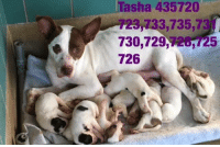 Dogs, Food, and Memes: asha 435720  33,735,73  730,729  20,725  726 Email Placement@sanantoniopetsalive.org if you are interested in Adopting, Fostering, or Rescuing!  Our shelter is open from 11AM-7PM Mon -Fri, 11AM-5PM Sat and 11AM-5PM Sun.  Urgent Pets are at Animal Care Services Campus and SAPA! is Only in Bldg 1 GO TO SAPA BLDG 1 & bring the Pet's ID! Address: 4710 Hwy. 151 San Antonio, Texas 78227 (Next Door to the San Antonio Food Bank on 151 Access Road)  **All Safe Dogs can be found in our Safe Album!** ---------------------------------------------------------------------------------------------------------- **SHORT TERM FOSTERS ARE NEEDED TO SAVE LIVES- email placement@sanantoniopetsalive.org if you are interested in being a temporary foster!!**