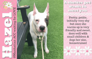 Being Alone, Apparently, and Bad: Ashelter pet  wants to  meet you  Pretty, petite,  initially very shy  but once she  warms up is very  friendly and sweet,  does well with  small children &  dogs her size,  housetrained  Hazel  @Manhattan ACC waiting for LOVE TO BE KILLED - JULY 18, 2019  If you don't feel sorry for Hazel you just don't have a heart. Simply a pretty petite little thing who was enjoying life to the fullest and enjoying her family just the other day. But on this day she finds herself sitting on death row with no family and no one to protect her from the bad people and tell her everything is going to be OK. She's an adorable little girl whose scared at the shelter as she should be but if she can find a good home and a loving new family she's sure to shine. Hazel use to live in harmony with two adults and she's been socialized wtih children as small as an infant to a four year old, and its said that Hazel was great with them - friendly,affectionate and playful. She's also housetrained and does well with dogs her own size and bigger. It sounds like Hazel's been making great strides in the right direction so we can't let this step backwards be the end for her. She's out of time and on the euth list at Manhattan ACC. Please help share Hazel for her happy ever after.   HAZEL@MANHATTAN ACC Hello, my name is Hazel My animal id is #68913 I am a female white dog at the  Manhattan Animal Care Center The shelter thinks I am about 4 years old, 43 lbs Came into shelter as owner surrender 7/12/2019 Reason Stated: Person circumstance - loss of income Hazel is rescue only   Hazel is at risk for behavioral reasons. Hazel has displayed fearful behavior at the care center, and becomes nervous during handling. Hazel would be best suited for placement with a new hope partner that can provide the necessary behavior modification. Medically, Hazel seems healthy.  My medical notes are... Weight: 43.6 lbs Vet Notes 7/15/2019 [DVM Intake] DVM Intake Exam Estimated age: 4 years Microchip noted on Intake? No  History : Owner surrender.  Subjective: BAR  Observed Behavior -Leash reactive when we tried to get her out of kennel. She was growling and lunging towards leash. Had to give her oral sedation in a meatball to get her out. For exam she was tense with tail tucked but she allowed handling. During exam she did not lunge, growl, bark or try to bite.  Evidence of Cruelty seen -No Evidence of Trauma seen -No Objective  T = P =120 bpm R =eup BCS 5/9 EENT: Eyes clear, mild wax AU, no nasal or ocular discharge noted Oral Exam: Limited exam, muzzled, nsf PLN: No enlargements noted H/L: NSR, NMA, CRT < 2, Lungs clear, eupnic ABD: Non painful, no masses palpated U/G: F/I, spotting blood, enlarged vulva, appears to be in heat MSI: Ambulatory x 4, skin free of parasites, no masses noted, healthy hair coat CNS: Mentation appropriate - no signs of neurologic abnormalities Rectal: Clean externally  Assessment: -In heat -Otherwise apparently healthy  Prognosis: Good  Plan: -Sedation: 50 mg Acepromazine PO one hour before exam -Cleaned ears AU -Trazadone 150 mg PO BID until otherwise directed since she is anxious/very nervous -Schedule surgery asap  SURGERY: Okay for surgery   Details on my behavior are... Behavior Condition: 3. Yellow  Behavior History Behavior Assessment Behavior upon intake Hazel was a little hesitant. She sniffed counselor.  Date of Intake: 7/12/2019  Spay/Neuter Status: Not Applicable  Basic Information:: Hazel is a large mixed female breed approximately 4 years old who was surrendered due to unforeseen circumstances  Previously lived with:: 2 adult  How is this dog around strangers?: Around strangers Hazel will smell you at first, is shy for a few days but once she warms up she is very friendly and sweet.  How is this dog around children?: Hazel has previous been socialized with children ages infant to 4 years who Hazel is great with. Hazel is friendly,affectionate and playful.  How is this dog around other dogs?: Around large mixed breeds Hazel will walk with them and is super friendly nut with small mixed breeds which is will growl, bark and lunge towards them.  How is this dog around cats?: Previous owner did not have any cats in the home so behavior not observed  Resource guarding:: Hazel isn't bothered when her food or treats are taken away but with her toys Hazel will try to bite the toy and accidentally nip.  Bite history:: No known bite history during time of intake  Housetrained:: Yes  Energy level/descriptors:: High  Other Notes:: Hazel isn't bothered when being held or restrained while on her harness. Hazel sleeps on the furniture with the owner so behavior unknown for how she would react if ever pushed off. Hazel loves getting baths and loves to be brushed. Hazel will sometimes bark when unfamiliar people approach her home or while on a walk but other times she will sniff the person for awhile.  Has this dog ever had any medical issues?: No  Medical Notes: Owner stated Hazel has a Yeast infection in both ears but did not provide any proof of vet documents  For a New Family to Know: Hazel is described as friendly, affectionate and playful with owner but around new people she is shy for a few days. Hazel loves playing with tennis balls, rope and tire toys. Hazel is indoors only. Hazel was fed dry food three times a day. Hazel is house trained and will rarely have accidents. Hazel will whine and bark when left alone at first but once she calms down she will take a nap. Hazel knows hand commands but not verbal. Hazel will tend to pull on leash. Hazel has been off leash while on a walk at night and she will walk with the owner.  ===========================  Date of intake:: 7/12/2019  Spay/Neuter status:: No  Means of surrender (length of time in previous home):: Owner Surrender  Previously lived with:: 2 adults  Behavior toward strangers:: initially shy and may bark, friendly after warming up for a few days  Behavior toward children:: friendly, affectionate, and playful with children 0-4 years old  Behavior toward dogs:: growls, barks, lunges at small dogs, friendly with large dogs  Resource guarding:: None reported  Bite history:: None reported  Housetrained:: Yes  Energy level/descriptors:: Hazel is described as friendly, affectionate and playful but also shy with a high level of energy.  Other Notes:: When toys are taken away from her, hazel becomes playful and mouthy and may accidentally nip  Date of assessment:: 7/16/2019  Summary:: Hazel is fearful at the care center and growls and bites the leash when attempts are made to remove her from her kennel. She is unable to be removed from her kennel or receive a handling assessment at this time. Please see her owner surrender notes for a full report of her behavior in her previous home.  Summary:: Due to difficulty removing from kennel and not allowing handling, Hazel was not able to be introduced to other dogs in the care center. The previous owner of Hazel cited that she has interacted successfully with larger dogs, but will growl, bark and lunge at smaller dogs.  Date of intake:: 7/12/2019  Summary:: nervous, lip licking, sniffed, no handling done  ENERGY LEVEL:: Hazel is described as having a high level of activity. We recommend long-lasting chews, food puzzles, and hide-and-seek games, in additional to physical exercise, to positively direct her energy and enthusiasm.  IN SHELTER OBSERVATIONS:: 7/16: Hazel has been extremely fearful at the care center and is unable to be removed from her kennel. While she will come forward and take high value treats at times, as soon as the leash is introduced she runs to the back of the kennel, growling and snapping at the leash. When attempts are made to leash her, she bites the leash.  BEHAVIOR DETERMINATION:: New Hope Only  Behavior Asilomar: TM - Treatable-Manageable  Recommendations:: No children (under 13),Place with a New Hope partner  Recommendations comments:: No children: Due to how fearful Hazel is currently at the care center, we recommend an adult only home.  Place with a New Hope partner: Hazel is very fearful at the care center and does not allow a leash to be placed over her head. We recommend placement with a New Hope partner who can provide any necessary behavior modification (force-free, positive reinforcement-based) and re-evaluate behavior in a stable home environment before placement into a permanent home.  Potential challenges: : Fearful/potential for defensive aggression,On-leash reactivity/barrier frustration  Potential challenges comments:: Fearful/potential for defensive aggression: Hazel is very fearful at the care center, growling and biting the leash when attempts are made to leash her. Please see handout on Fearful/potential for defensive aggression.  On-leash reactivity/barrier frustration: Hazel is reported to react to small dogs on leash, lunging at them, barking, and growling. Please see handout on On-leash reactivity/barrier frustration.  HAZEL IS RESCUE ONLY…..TO SAVE THIS PUP YOU MUST FILL OUT APPLICATIONS WITH AT LEAST 3 NEW HOPE RESCUES. PLEASE HURRY!!!   IF YOU CAN FOSTER OR ADOPT THIS PUP, PLEASE PM OUR PAGE FOR ASSISTANCE. WE CAN PROVIDE YOU WITH LINKS TO APPLICATIONS WITH NEW HOPE RESCUES WHO ARE CURRENTLY PULLING FROM THE NYC ACC.  PLEASE SHARE THIS DOG FOR A HOME TO SAVE HER LIFE.