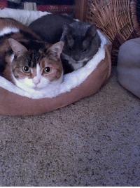 Cats, Cute, and Love: ask-art-student-prussia:  these are my cats left: sammi right: willow no reason behind posting this tbh. they're just v cute and i like sharing my cats i guessi love them  Feel free to always send me picture of your cats