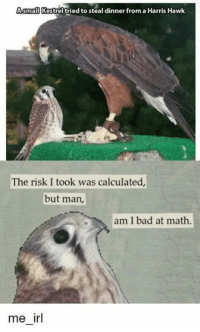 But Man Am I Bad At Math: Asmall Kestrel tried to steal dinner from a Harris Hawk  The risk I took was calculated,  but man,  am I bad at math  me irl
