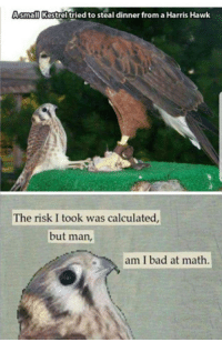 Bad, Math, and Man: Asmall Kestrel tried to steal dinner from a Harris Hawk  The risk I took was calculated,  but man  am I bad at math.