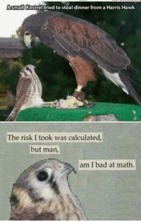 40+ Silly Memes For You To Browse While You Pretend To Work: Asmall Kestrel tried to steal dinner from a Harris Hawk  The risk I took was calculated  but man,  am I bad at math. 40+ Silly Memes For You To Browse While You Pretend To Work