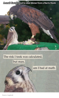 Bad, Math, and Source: Asmall Kestrel tried to steal dinner from a Harris Hawk  The risk I took was calculated,  but man,  am I bad at math.  Source: kagekubi