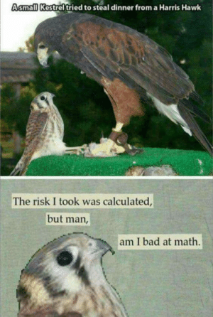 SOMEBODY: Asmall Kestrel tried to steal dinner from a Harris Hawk  The risk I took was calculated  but man  am I bad at math SOMEBODY