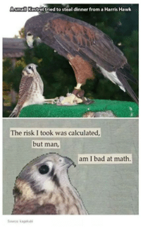 Bad, Math, and Humans of Tumblr: Asmall Kestrel tried to steal dinner from aHarris Hawk  The risk I took was calculated,  but man,  am I bad at math.  Source kagekubi