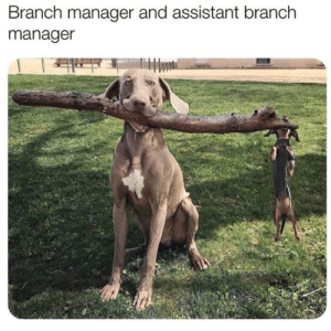 Assistant to the branch manager.credit:@podarroz_weimaraner: Assistant to the branch manager.credit:@podarroz_weimaraner