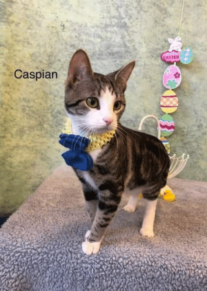 Everyone, meet Caspian!  He is a 10 month old silver/white/tabby, domestic shorthair.  He is just an absolute sweetheart!!  Look how gorgeous this boy is!!   Notice his beautiful markings!!  His tail is awesome as are his legs!!  He has very pretty green eyes and a cute pouty face!  Caspian was very curious about everything going on during his photo shoot!!  He still needs to be neutered but once that has been taken care of, with an approved application and $40 adoption fee he can go home.  Caspian prefers a dog free environment.    Pictures by Rose Wilson with Michaelyn Creel, Missy Dearien, and Dana Stearman.: ASTER  Caspian Everyone, meet Caspian!  He is a 10 month old silver/white/tabby, domestic shorthair.  He is just an absolute sweetheart!!  Look how gorgeous this boy is!!   Notice his beautiful markings!!  His tail is awesome as are his legs!!  He has very pretty green eyes and a cute pouty face!  Caspian was very curious about everything going on during his photo shoot!!  He still needs to be neutered but once that has been taken care of, with an approved application and $40 adoption fee he can go home.  Caspian prefers a dog free environment.    Pictures by Rose Wilson with Michaelyn Creel, Missy Dearien, and Dana Stearman.