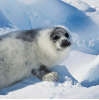 At 6 am today, the slaughter of baby seals opened off the coast of Newfoundland in what is the largest kill of marine mammals on earth. 😔 Please urge Prime Minister Justin Trudeau to end this barbaric industry using the linkinbio TakeActionTuesday: At 6 am today, the slaughter of baby seals opened off the coast of Newfoundland in what is the largest kill of marine mammals on earth. 😔 Please urge Prime Minister Justin Trudeau to end this barbaric industry using the linkinbio TakeActionTuesday