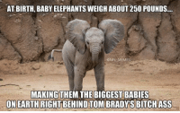 Meme Making, Fun Fact, and  Weigh: AT BIRTH, BABYELEPHANTS WEIGH ABOUT 250 POUNDS....  @NFL MEMES  MAKING THEM THE BIGGEST BABIES  ASS  ONEARTHRIGHTBEHINDTOMBRADYS BITCH Fun Fact