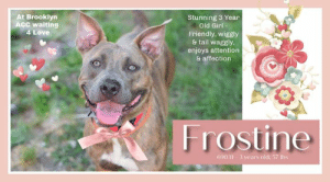INTAKE DATE: 07-13-2019  FROSTINE@BROOKLYN ACC Frostine ID# 69031  Sex: Female Age: 3 years old Length: Short Is Vaccinated: Yes Coat Type: Smooth Primary Color: Brown Brindle Weight: 57 lbs. Intake Date: 07-13-2019 Found Stray Shelter Assessment Rating: LEVEL 3 No children (under 13) Medical Behavior Rating: Blue BEHAVIOR NOTES Means of surrender (length of time in previous home): Stray, no known history SAFER ASSESSMENT - Behavior Assessment Date: 7/15/2019  Summary:  Leash Walking Strength and pulling: Hard pulling Reactivity to humans: None  Reactivity to dogs: None Leash walking comments:  Sociability Loose in room (15-20 seconds): Soft, loose and wiggly, panting, readily approaches, jumps up onto handler exuberantly, tail high and wagging, high energy, explores somewhat, readily accepts treats with soft mouth Call over: Approaches readily, exuberant Sociability comments:  Handling  Soft handling: Soft, loose and wiggly, jumps up onto handler's lap, tail wagging, panting, ears high, lip licking, ears back, leans into handler, accepts all contact Exuberant handling: Soft, loose and wiggly, tail wagging, panting, ears high, lip licking, ears back, leans into handler, moves around in front of handler, accepts all contact Handling comments: Once handling is completed, jumps up, but readily settles  Arousal Jog: On first pass, jumps up repeatedly and attempts to mouth leash; Refocuses after a few minutes and approaches assistant before jumping up and mouthing toward leash again Arousal comments: Shakes off and refocuses  Knock Knock Comments: Pulls toward door as assistant exits, panting, some pacing; No response to knock; Approaches assistant exuberantly, jumps up soliciting attention, panting, tail wagging  Toy  Toy comments: Grips firmly and moves away; Grips and relinquishes  PLAYGROUP NOTES - DOG TO DOG SUMMARIES:  Frostine was brought in as a stray so her behavior around other dogs is unknown.  7/14: At the gate greet with a novel male dog, Frostine freezes, h