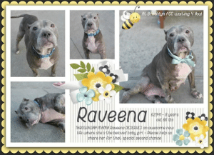 Butt, Cats, and Children: At Brooklyn ACC waiting 4 Youl  Raveena  meeRveeng DESERUES an qussom  ipe whena she's the beloved babu aird -lease *** INTAKE DATE - May 16, 2019 ****  THROWAWAY MAMA DESERVES an awesome new life where she's the special baby girl <3 Watch Raveena's video and fall in love. She makes you want to be the one to change her life and give her something different, something she hasn't had. Unconditional love and lots of attention, snuggles and a whole lot of everything she never had, like squeaky toys, stuffies, delicious treats and awesome ear and butt rubs. Raveena's obviously a girl whose been missing out on the finer things in life and we think its her turn to bask in the spotlight and shine bright. Please help share Raveena for a wonderful and loving retirement home. We know there's one out there for our girl. :)    MY MOVIE: The snuggles only get better with age <3 https://youtu.be/5a1j01df348  RAVEENA, ID# 62941, 8 yrs old, 66.13 lbs, Brooklyn Animal Care Center, Large Mixed Breed Cross, Gray / White Female,  Owner Surrender Reason:  Shelter Assessment Rating:  Medical Behavior Rating:  * TO FOSTER OR ADOPT *   If you would like to adopt a NYC ACC dog, and can get to the shelter in person to complete the adoption process, you can contact the shelter directly. We have provided the Brooklyn, Staten Island and Manhattan information below. Adoption hours at these facilities is Noon – 8:00 p.m. (6:30 on weekends)  If you CANNOT get to the shelter in person and you want to FOSTER OR ADOPT a NYC ACC Dog, you can PRIVATE MESSAGE our Must Love Dogs page for assistance. PLEASE NOTE: You MUST live in NY, NJ, PA, CT, RI, DE, MD, MA, NH, VT, ME or Northern VA. You will need to fill out applications with a New Hope Rescue Partner to foster or adopt a NYC ACC dog. Transport is available if you live within the prescribed range of states.  Shelter contact information: Phone number (212) 788-4000 Email adopt@nycacc.org  Shelter Addresses: Brooklyn Shelter: 2336 Linden Boulevard Brooklyn, NY 11208 Manhattan Shelter: 326 East 110 St. New York, NY 10029 Staten Island Shelter: 3139 Veterans Road West Staten Island, NY 10309  * NEW NYC ACC RATING SYSTEM *  Level 1 Dogs with Level 1 determinations are suitable for the majority of homes. These dogs are not displaying concerning behaviors in shelter, and the owner surrender profile (where available) is positive. Some dogs with Level 1 determinations may still have potential challenges, but these are challenges that the behavior team believe can be handled by the majority of adopters. The potential challenges could include no young children, prefers to be the only dog, no dog parks, no cats, kennel presence, basic manners, low level fear and mild anxiety.   Level 2  Dogs with Level 2 determinations will be suitable for adopters with some previous dog experience. They will have displayed behavior in the shelter (or have owner reported behavior) that requires some training, or is simply not suitable for an adopter with minimal experience. Dogs with a Level 2 determination may have multiple potential challenges and these may be presenting at differing levels of intensity, so careful consideration of the behavior notes will be required for counselling. Potential challenges at Level 2 include no young children, single pet home, resource guarding, on-leash reactivity, mouthiness, fear with potential for escalation, impulse control/arousal, anxiety and separation anxiety.   Level 3 Dogs with Level 3 determinations will need to go to homes with experienced adopters, and the ACC strongly suggest that the adopter have prior experience with the challenges described and/or an understanding of the challenge and how to manage it safely in a home environment. In many cases, a trainer will be needed to manage and work on the behaviors safely in a home environment. It is likely that every dog with a Level 3 determination will have a behavior modification or training plan available to them from the behavior department that will go home with the adopters and be made available to the New Hope Partners for their fosters and adopters. Some of the challenges seen at Level 3 are also seen at Level 1 and Level 2, but when seen alongside a Level 3 determination can be assumed to be more severe. The potential challenges for Level 3 determinations include adult only home (no children under the age of 13), single pet home, resource guarding, on-leash reactivity with potential for redirection, mouthiness with pressure, potential escalation to threatening behavior, impulse control, arousal, anxiety, separation anxiety, bite history (human), bite history (dog) and bite history (other).