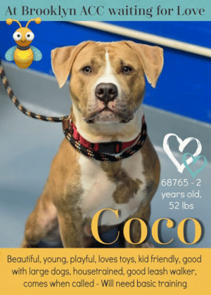 TO BE KILLED - 8/31/2019   Beautiful boy COCO lost his family and his home and badly needs out attention and our help. He was surrendered to the Brooklyn animal shelter and now he's been added to the euth list and he's scheduled to die soon. Much too soon. This gorgeous dog is just a year old. Coco should have lots of time ahead of him to learn, live, love and be loved but his time is up and if no one will step up to save him he won't get another chance to find a new family. Coco already lived in harmony with a small child but because he's a baby himself he's not always aware of his size. He does very well with dogs his size (not small dogs) and he's also housetrained. To make it out of the shelter alive, Coco needs lots of shares so please don't overlook this stunning dog. Share him to the moon and back for his happy ever after. Please. :(  MY MOVIES:  Coco 70752 🚀 https://youtu.be/mAoBqfxCGxM  Coco 70752 give 🐾🐾  https://youtu.be/YmIzdUQp1hE  COCO@BROOKLYN ACC Hello, my name is Coco My animal id is #70752 I am a male brindle dog at the  Brooklyn Animal Care Center The shelter thinks I am about 1 years old, 66 lbs Came in as owner surrender 8/25/2019 Reason Stated: Landlord won't allow Sorry, this pet is for new hope partners only.  My medical notes are... Weight: 66.4 lbs Vet Notes 8/27/2019 DVM Intake Exam Estimated age: 1y Microchip noted on Intake? yes History : owner surrender Subjective: BARH, normal appetite, no elimination concerns Observed Behavior - friendly allowed all handling, may nip with excitement, strongly resisted blood draw. Was muzzled Evidence of Cruelty seen - no Evidence of Trauma seen - no Objective P = wnl R = wnl BCS 5/9  EENT: Eyes clear, ears clean, no nasal or ocular discharge noted Oral Exam: muzzled PLN: No enlargements noted H/L: NSR, Grade 2 heart murmur, CRT < 2, Lungs clear, eupnic ABD: Non painful, no masses palpated U/G: male intact 2 testicles soft symmetric, no leakage or discharge MSI: Ambulatory x 4, skin free of parasites, 