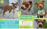 """Being Alone, Cats, and Children: At Brooklyn ACC  waiting for LOVE  Good looking, friendly,  playful, dog friendly  (soft & social wi the greeter dog),  crate trained, very housetrained  well behaved when home alone  King  31322- 3 years old, 53 lbs **** TO BE KILLED - 6/20/22018 ****  NEW PICS, NEW FLYER, NEW THREAD FOR KING - PLEASE CONTINUE TO SHARE HIM FOR THAT SPECIAL 2ND CHANCE <3  KING'S FORMER OWNER'S FAVORITE THING ABOUT HIM WAS HOW HE ACTED LIKE A BABY. <3 That doesn't sound like the case of a hopeless dog that deserves to die. Sounds more like King may have been in a not-so-great home situation when he actually deserves just the opposite. Like children, dogs thrive in a positive, loving and nurturing environment. King is a handsome 3 year old pibble who lived with his family his entire life and was recently dumped at the shelter when he """"became afraid of the children"""" in his old home. Kings owner states that he was initially very affectionate and gentle with children up until 3 months ago when she left him with one of her friends who left him locked in a cage. King used to get poked and hit by the small children at that home while he was in this cage. Poor guy. He was almost relieved to get to the shelter and meet some new friends who doted on him and gave him some positive attention instead of poking him and hitting him in his face. Lets share King to the moon and back because he's going to need all the attention and shares he can get with just an intake pic. King deserves a chance in a home where he'll be safe and loved.  King's Intake Notes :) King had a loose body & a wagging tail. He was play bowing & pacing back & forth in the lobby. He sat still while I collared him, placed his face in my hands when I stuck them out in front of him & closed his eyes. He followed the transport driver on a leash & jumped into the van on his own.  KING@BROOKLYN ACC Hello, my name is King My animal id is #31322 I am a male brown brindle dog at the  Brooklyn Animal Care"""