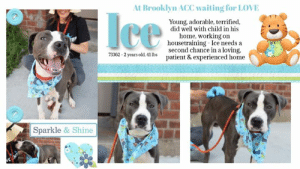 TO BE KILLED - 8/31/2019  THOUGH he is listed as 2 years old, staff and volunteers believe he is much younger than that, and a very very young puppy! :) When everyone loves you, it's only a matter of time before you realize your worth and love everyone back! Ice is the current heart-breaker at the shelter. He might not know how super adorable he is, or that he has volunteers who couldn't refrain from taking photo after photo of his super photogenic self. Ice is 2 years old and only 41 lbs, wears a sharp steel and snow coat, sweet delicate jowls with a spotty upper lip. He arrived at the shelter frightened out of his wits, like so many do. Now that he is getting the love, attention and security he deserves, he is starting to put his best paw forward. The ice is melting! He lived with a child in harmony, and yearns to have a family to cherish once again. The tragedy here is that no sooner did Ice begin to make sense of his situation, the shelter proceeds to place him on the dreaded list. He is in dire need of a foster or adopter. Please message this page if you would like to open your heart to this deserving young boy.  MY MOVIES:  Ice Ice Baby  https://youtu.be/CDEW8uGfpuM  Ice a scared puppy 73362  https://youtu.be/l1ZruT9_bAY Ice 73362  https://youtu.be/ObjxZ4q98KM  Ice warming up to my new friend 73362  https://youtu.be/VPFro530Pgo  ICE@BROOKLYN ACC Hello, my name is Ice My animal id is #73362 I am a male gray dog at the  Brooklyn Animal Care Center The shelter thinks I am about 2 years old, 41 lbs Came into shelter as a ACO impount 8/20/2019 Icce is rescue only  Ice is at risk for behavior concerns. Ice remains highly fearful and uncomfortable with interaction from most handlers in the care center, he has been observed to escalate quickly to growling and hard staring at handlers on multiple occasions. At this time, we feel Ice would be best set up to succeed if placed with an experienced rescue partner who can reassess his behavior in a more stable home environme