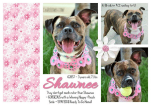 Cats, Children, and Dogs: At Brooklyn ACC waiting for U  62857- 3years dd,71 lbs  Sh  annee  They don't get much cuter than Shawnee  GORGEOUS with a Winning Happy-Pooch  Smile -SPAYED&Ready To GoHome **** INTAKE DATE - May 15, 2019 ****  THEY DON'T GET MUCH CUTER THAN SHAWNEE <3 Shawnee was once chosen to become a part of a family. She was adored, promised forever, and then abandoned without the slightest consideration. Shawnee was so delighted to belong, to cherish, protect and serve. Lived in harmony with her family and sought approval from the home she thought would always reciprocate her unconditional love. Forever to a doggie means forever till their last breathe, and though they don't live that long, each moment spent is done so with only tenderness, and affection toward their family. This is certainly the case for Shawnee. The tragedy here is that despite betrayal, Shawnee continues to love the home that discarded her and would stop at nothing for them. The beauty in this tragedy is the pureness of Shawnee's heart to love again. This is why she deserves a loving home who will not renege on this promise.   MY MOVIE: Fetching Angel <3  https://youtu.be/Oxr1Y7nDYjc  SHAWNEE, ID# 62857, 3 yrs old, 71 lbs, Brooklyn Animal Care Center, Medium Mixed Breed Cross, Brown Brindle / White Spayed Female, Owner Surrender Reason:  Shelter Assessment Rating:  Medical Behavior Rating:  * TO FOSTER OR ADOPT *   If you would like to adopt a NYC ACC dog, and can get to the shelter in person to complete the adoption process, you can contact the shelter directly. We have provided the Brooklyn, Staten Island and Manhattan information below. Adoption hours at these facilities is Noon – 8:00 p.m. (6:30 on weekends)  If you CANNOT get to the shelter in person and you want to FOSTER OR ADOPT a NYC ACC Dog, you can PRIVATE MESSAGE our Must Love Dogs page for assistance. PLEASE NOTE: You MUST live in NY, NJ, PA, CT, RI, DE, MD, MA, NH, VT, ME or Northern VA. You will need to fill out applications with a New Hope Rescue Partner to foster or adopt a NYC ACC dog. Transport is available if you live within the prescribed range of states.  Shelter contact information: Phone number (212) 788-4000 Email adopt@nycacc.org  Shelter Addresses: Brooklyn Shelter: 2336 Linden Boulevard Brooklyn, NY 11208 Manhattan Shelter: 326 East 110 St. New York, NY 10029 Staten Island Shelter: 3139 Veterans Road West Staten Island, NY 10309  * NEW NYC ACC RATING SYSTEM *  Level 1 Dogs with Level 1 determinations are suitable for the majority of homes. These dogs are not displaying concerning behaviors in shelter, and the owner surrender profile (where available) is positive. Some dogs with Level 1 determinations may still have potential challenges, but these are challenges that the behavior team believe can be handled by the majority of adopters. The potential challenges could include no young children, prefers to be the only dog, no dog parks, no cats, kennel presence, basic manners, low level fear and mild anxiety.   Level 2  Dogs with Level 2 determinations will be suitable for adopters with some previous dog experience. They will have displayed behavior in the shelter (or have owner reported behavior) that requires some training, or is simply not suitable for an adopter with minimal experience. Dogs with a Level 2 determination may have multiple potential challenges and these may be presenting at differing levels of intensity, so careful consideration of the behavior notes will be required for counselling. Potential challenges at Level 2 include no young children, single pet home, resource guarding, on-leash reactivity, mouthiness, fear with potential for escalation, impulse control/arousal, anxiety and separation anxiety.   Level 3 Dogs with Level 3 determinations will need to go to homes with experienced adopters, and the ACC strongly suggest that the adopter have prior experience with the challenges described and/or an understanding of the challenge and how to manage it safely in a home environment. In many cases, a trainer will be needed to manage and work on the behaviors safely in a home environment. It is likely that every dog with a Level 3 determination will have a behavior modification or training plan available to them from the behavior department that will go home with the adopters and be made available to the New Hope Partners for their fosters and adopters. Some of the challenges seen at Level 3 are also seen at Level 1 and Level 2, but when seen alongside a Level 3 determination can be assumed to be more severe. The potential challenges for Level 3 determinations include adult only home (no children under the age of 13), single pet home, resource guarding, on-leash reactivity with potential for redirection, mouthiness with pressure, potential escalation to threatening behavior, impulse control, arousal, anxiety, separation anxiety, bite history (human), bite history (dog) and bite history (other).