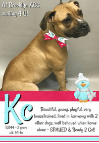 "Being Alone, Beautiful, and Cats: At Brooklyn ACe  waiting 4 UJ  Beauliful, young, playful, very  housetrained, lived in harmony with 2  other dogs, well behaved when home  52144-2 yearsalone SPAYED & Ready 2 Gol!  old, 64 lbs **** TO BE KILLED - 1/12/2019 ****  ADOPTED AND BROUGHT ""HOME"" AT JUST 3 MONTHS, Kc settled in good with her family a few years ago, certain this was where she'd spend the rest of her life and that her owner would make sure of it and always keep her safe. But everything changed January 8th. That's when Kc's love and loyalty was betrayed. Her owner surrendered her to the Brooklyn shelter, claiming they were moving to a place where pets aren't allowed. Is it that easy? That simple? To just discard your fur family members to move to a new home. Sure it can be a bit challenging sometimes to find an apartment where your pets are allowed but you just dig in and try harder. Don't leave them at a kill shelter where they will almost certainly die. Kc is a beautiful 2 year old dogs who, after just 3 days, is OUT OF TIME. :'( Right now, she need to catch the attention of a kind and caring dog lover wiling to open their heart and home and provide her with the love, safety, security and time she needs to get on with her life and be successful.   Kc@BROOKLYN ACC Hello, my name is Kc My animal id is #52144 I am a desexed female tan dog at the  Brooklyn Animal Care Center The shelter thinks I am about 2 years old, 64 lbs Came into shelter as owner surrender Jan. 8, 2019 Reason Stated: MOVING :(  Kc is rescue only  KC is at risk for behavior concerns. KC has allowed minimal handling from her caretakers, showing fearful behaviors with potential for defensive aggression. Please see her owner surrender profile for a full summary of her behavior in her previous home. There are no medical concerns at this time.  My medical notes are... Weight: 64 lbs Vet Notes 8/01/2019 [DVM Intake] DVM Intake Exam Estimated age:1-2y (3 reporte) Microchip noted on Intake?y Microchip Number (If Applicable):985112009146259 History :o surrender Subjective: Observed Behavior -muzzled. allowed slow exam. handlers reported lunging Evidence of Cruelty seen -n Evidence of Trauma seen -n Objective  T = P =60 R =pant BCS 5/9  EENT: Eyes clear, ears clean, no nasal or ocular discharge noted Oral Exam:clean teeth PLN: No enlargements noted H/L: NSR, NMA, CRT < 2, Lungs clear, eupnic ABD: Non painful, no masses palpated U/G:spay tattoo seen MSI: Ambulatory x 4, skin free of parasites, no masses noted, healthy hair coat CNS: Mentation appropriate - no signs of neurologic abnormalities  Assessment: healthy Prognosis:good Plan:no treatment  Details on my behavior are... Behavior Condition: 4. Orange Behavior History Behavior Assessment Behavior upon intake: Kc was wagging her tail when came in the room however she started to bark at counselors and kept sitting next to the owner. She later started to bark at the ACS. She was interested in treats.  Date of Intake: 1/8/2019  Basic Information:: Kc is a three year old large female dog that was surrendered to the center due to the owner moving into a no pet place. The owner had her since she was three months. Kc doesn't have any known health issues. and has not seen the vet recently.  Previously lived with:: One adult and two dogs  How is this dog around strangers?: She can be shy or fearful around strangers.  How is this dog around children?: She didn't live with children.  How is this dog around other dogs?: She lived with a male and female dog. She was relaxed and playful around them.  How is this dog around cats?: She didn't live with cats.  Resource guarding:: She is not bothered when her food is touched while eating however she barks if an object or treat is taken away from her.  Bite history:: No bite history with a person or animal.  Housetrained:: Yes  Energy level/descriptors:: Very high  Other Notes:: She is not bothered when she is held/restrained nor if disturbed while resting, bathed or brushed. The owner never trimmed her nails. She might bark, growl or snap when someone unfamiliar approaches the house.  Has this dog ever had any medical issues?: No  For a New Family to Know: She was described as playful, fearful and anxious. She follows people around at home. Kc plays with balls, stuffed toys and ropes. She likes to wrestle and tug. She was kept mostly indoors and used to sleep in the owner's bed. She eats dry food and was fed once a day. She is house-trained and rarely has accidents. She is well-behaved when left alone in the house. She knows sit and come cues and is used to walks on leash for exercise.  Date of intake:: 1/8/2019 Spay/Neuter status:: Yes Means of surrender (length of time in previous home):: Owner surrender Previously lived with:: 1 adult, 2 dogs Behavior toward strangers:: Shy, fearful Behavior toward children:: Unknown Behavior toward dogs:: Relaxed, playful with resident dogs Behavior toward cats:: Unknown Resource guarding:: None reported Bite history:: None reported Housetrained:: Yes Energy level/descriptors:: Playful, fearful and anxious with a high energy level  Date of assessment:: 1/10/2019  Summary:: Unable to SAFER due to behavior concerns: KC has allowed minimal handling from her caretakers, showing fearful behaviors with potential for defensive aggression. Out of concern for her stress levels and her response to restraint, we feel KC is not a great candidate for a handling assessment at this time. Please see her owner surrender profile for a full summary of her behavior in her previous home.   Summary:: According to KC's previous owner, she lived with a male and female dog and was relaxed and playful around them.  1/9: KC was uncomfortable with handling, giving the handlers a clear warning by freezing and low growling when an attempt was made to place a collar on her. Her warning was respected and attempts to place a collar on her were suspended. She greeted a novel male dog through the gate and displayed a tucked posture with low tail wags.   1/10: After handlers placed a collar on KC she greeted the novel male dog, at the gate, with a tuck posture. The greeter dog's leash is held to give her a chance to approach, but KC chooses to keep to herself and never approaches her. She mostly kept to herself wandering the pen and avoiding the other dog  Date of intake:: 1/8/2019  Summary:: Hard barking, growling and lunging  Date of initial:: 1/8/2019  Summary:: Muzzled, tolerated slower exam  ENERGY LEVEL:: KC has shown only a moderate energy level while here in the care center.  BEHAVIOR DETERMINATION:: New Hope Only  Behavior Asilomar: TM - Treatable-Manageable  Recommendations:: No children (under 13),Place with a New Hope partner  Recommendations comments:: Due to KC's fearfulness and sensitivity to handling/restraint, the behavior team recommends that KC be placed with a New Hope partner that can provide an adult only foster home.  Potential challenges: : Handling/touch sensitivity,Fearful/potential for defensive aggression,On-leash reactivity/barrier frustration,Strength/leash pulling  Potential challenges comments:: On Leash reactivty: KC was observed to be lunging and hard barking while on leash with owner in lobby. It is unknown if this is a reoccurring behavior but should be noted to potential adopters.  Kc IS RESCUE ONLY…..TO SAVE THIS PUP YOU MUST FILL OUT APPLICATIONS WITH AT LEAST 3 NEW HOPE RESCUES. PLEASE HURRY!!!   IF YOU CAN FOSTER OR ADOPT THIS PUP, PLEASE PM OUR PAGE FOR ASSISTANCE. WE CAN PROVIDE YOU WITH LINKS TO APPLICATIONS WITH NEW HOPE RESCUES WHO ARE CURRENTLY PULLING FROM THE NYC ACC.  PLEASE SHARE THIS DOG FOR A HOME TO SAVE HER LIFE."