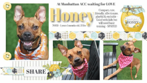 Update: Honey was not included in the original Facebook album. She is at-risk but will be re-listed on Thursday 9/5/19 if placement is not found.  Looking for a special face with whimsical ears, wrapped in a wee package of 35 lbs? Honey, clearly named for her sweet disposition, is the cure for any blues. She is immensely  playful, adores toys, seeks attention and affection and always found with a smile. Very young, vibrant and astute. Her richly colored coat, smoldering smokey eyes and ears which take on a life of their own make her the most noticeable in a group. She previously lived with children and cats. Surrendered with admirable notes, and easily attracting love and attention at the shelter. With a little leash guidance and structure, she defines the perfect companion pet. Given just 10 days at the shelter (whom describes her as highly social) and already whisked to the kill list. Who ever would destroy such a bright little light? Honey shows love, enthusiasm and friendship to all. If you would like to save sweet Honey, please message this page.  HONEY@MANHATTAN ACC Hello, my name is Honey My animal id is #70953 I am a desexed female brown dog at the  Manhattan Animal Care Center The shelter thinks I am about 1 years 1 months old, 35 lbs Came into shelter as a return 8/23/2019 HONEY is rescue only   Honey is at risk for behavioral reasons. Honey has displayed a low threshold for arousal with the potential to become a bite risk and is difficult to redirect. Honey would be best suited for placement with a new hope partner that can provide the necessary behavior modification. Medically, Honey seems healthy.  My medical notes are... Weight: 35 lbs Vet Notes Post Surgery Note 8/3/2019 [DVM Intake] DVM Intake Exam Estimated age: 1-2 years Microchip noted on Intake? No History : Brought in by the police.  Subjective: BAR Observed Behavior -Very hyper and extremely leash reactive. Wagging her tail and taking treats but hyper and jumping up. No growling, lunging or bit