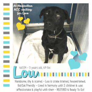 """Apparently, Bones, and Cats: At manhattan  ACC waiting  bor Love  ELo  66534 3 years old, 69 lbs  Handsome, shy & scared - Lou is crate trained, housetrained,  Kid/Cat friendly - Lived in harmony with 2 children & was  affectionate & playful with them - NEUTERED & Ready To Go! TO BE KILLED - 6/27/2019  """"The world would be a nicer place if everyone had the ability to love as unconditionally as a dog."""" - M.K. Clinton.  You will find a youngster wearing an onyx, velvety coat, with two sparkling brown eyes peeking out from his kennel, wondering if he should take a chance or retreat further inside. A family raised boy, Lou is now without everything he treasured. Wags his tail when someone brings him treats, and arrived with a wiggly body, happy to meet friends. Lou grew up with children in the home, and spent his nights crated. Now that his family deserted him, he is terrified of the unknown fate ahead. Lou seeks familiarization with friends and structure. He needs security and assurance. Feeling unwanted is one of the hardest realities to accept, being punished for doing no wrong is injustice at its worst. Lou needs a true friend, someone to assure him he is safe and loved permanently. The odds are stacked tightly against him. If you would like to step up and give him the break he deserves, please message this page now.  LOU@MANHATTAN ACC Hello, my name is Lou My animal id is #66534 I am a desexed male black dog at the  Manhattan Animal Care Center The shelter thinks I am about 3 years old, 69 lbs Came into shelter as owner surrender 6/19/2019 Reason Stated: OWNER/PERSON HEALTH - Medical Lou is rescue only   Lou is at risk for behavioral reasons. Lou has displayed distance increasing behaviors at the care center and has remained fearful. Lou is also uncomfortable around new people and will need a gradual approach. Lou would be best suited for placement with a new hope partner that can provide the necessary behavior modification. Medically, Lou seems healthy.  My medical"""