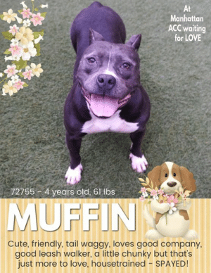 TO BE KILLED - 8/31/2019   OUT OF TIME :( HOPING FOR A HERO AT MANHATTAN ACC. A volunteer writes: Who does not like muffins? They are served on all occasions because they are everyone's favorite treats! Our Muffin is no exception! Come and meet her and you will see how friendly and welcoming she is, wagging her tail, making sweet eyes at you, wiggling her little hippo's ears and giving you that big engaging smile! She is the cutest, a well dressed dumpling, happy to be in company, coming when called, sitting on command and for treats and loving caresses. A great walker she is, oblivious to other dogs around us as we cuddle on a bench. Muffin is at the Manhattan Care Center, hoping to melt your heart and be your forever best friend  MY MOVIE: Muffin is a Love https://youtu.be/H4jx_bQ24pU  MUFFIN@MANHATTAN ACC Hello, my name is Muffin My animal id is #72755 I am a desexed female gray dog at the  Manhattan Animal Care Center The shelter thinks I am about 4 years old, 61 lbs Came into shelter as owner surrender 8/15/2019 Reason stated - domestic violence  Muffin is at risk due to medical and behavior conditions. Muffin has been diagnosed with Canine Infectious Respiratory Disease Complex which is contagious to to other dogs and will likely require in home care for recovery. She also has presented with some fearful behaviors, barrier frustration and has a history of resource guarding. We recommend she go to an adult only environment with some previous dog experience.  My medical notes are... Weight: 61.4 lbs  Vet Notes 8/15/2019  DVM Intake Exam  Estimated age: 4y reported by owner exam agrees Microchip noted on Intake? yes  History : Owner surrender due to personal circumstance  Subjective: BAR  Observed Behavior - Allowed all handling, but soft growl throughout exam. No snapping or barking.  Evidence of Cruelty seen -no  Evidence of Trauma seen -no  Objective   T = P =wnl R =wnl BCS 6/9  EENT: Eyes clear, ears mild brown waxy material, no nasal or ocular discharge note