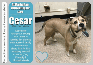 "Cats, Children, and Click: At Manhattan  ACC waiting for  LOVE  Cesar  67956-2 years old, 61 lbs  Absolutely  Gorgeous young  boy Cesar is  looking for a loving  new home & family  - Please help  share him for that  amazing second  chance! (Dog  Friendly &  Housetrained)  Unconditional love is as close as the nearest shelter TO BE KILLED - JULY 11, 2019  ALL YOU NEED IS LOVE....AND A DOG. Cesar, an absolute stunner, is sitting on death row at the Manhattan shelter, hoping to live to see another day and be granted a second chance. This dog friendly cutie is housetrained and ready to go! A shelter staff writes: Hail Cesar! Our Cesar is as regal as his namesake and looking to conquer his own Empire. Could that Empire be one of dog toys and treats in your home? With his charming good looks, Cesar is looking for a person to let him be the Emperor of their heart.  CESAR@MANHATTAN ACC Hello, my name is Cesar My animal id is #67956 I am a male tan dog at the  Manhattan Animal Care Center The shelter thinks I am about 2 years old, 61 lbs Came into shelter as owner surrender 7/3/2019 Reason Stated: Animal Behavior - aggressive towards people Cesar is rescue only   Cesar is at risk for behavioral reasons. Cesar has displayed distance increasing behaviors while at the care center and has allowed for minimal handling. Cesar would be best suited for placement with a new hope partner that can provide the necessary behavior modification. Medically, Cesar seems healthy.  My medical notes are... Weight: 61 lbs Vet Notes 7/7/2019 DVM Intake Exam Estimated age: Reported 2 years - exam is consistent with this Microchip noted on Intake? Scanned negative History : Surrendered. No health concerns reported Subjective: Alert, walks well on leash Observed Behavior - Standing with front paw raised. Lifts lip and growls when we try to muzzle. Due to reported hx of snapping with facial contact and current behavior - we decided to sedate for exam: Dexdomitor 0.75 ml IM and butorphanol 0.75 ml IM. Reversed with 0.75 ml Antisedan IM. Evidence of Cruelty seen - None Evidence of Trauma seen - None Objective  BAR prior to sedation, MMs pink, BCS 6/9 EENT: Eyes clear, ears clean, no nasal or ocular discharge noted Oral Exam: Pt muzzled - not examined PLN: No enlargements noted H/L: NSR, NMA, Lungs clear, eupnic, no coughing or sneezing ABD: Tense, no masses palpated, not distended U/G: Male intact, testicles S/S MSI: Ambulatory x 4, skin free of parasites, no masses noted, healthy hair coat CNS: Mentation appropriate - no signs of neurologic abnormalities Rectal: Normal externally Assessment: Slightly overweight Prognosis: Good Plan: Recommend weight loss of 5-6 lbs SURGERY:Okay for surgery  1088  Details on my behavior are... Behavior Condition: 4. Orange  Behavior History Behavior Assessment Date of Intake: 7/3/2019  Spay/Neuter Status: Not Applicable  Previously lived with:: 2 adults, 3 children, 1 bird, 1 lizard  How is this dog around strangers?: Around strangers Cesar is described as playful and respectful.  How is this dog around children?: Around children he is described as tolerant. He will play but does not like to rough play and will snap.  How is this dog around other dogs?: Around other dogs he is described as playful and affectionate  How is this dog around cats?: Not observed  Resource guarding:: he has some resource guarding issues without warning. He normally will not guard food or toys but when it comes to items he is not supposed to have he will snap and bite if attempting to remove  Housetrained:: Yes  Energy level/descriptors:: medium energy level  Other Notes:: Cesar will give warning barks when he is uncomfortable and when someone is knocking on the door. He is nervous when he hears loud noises, he enjoys being bathed, he will snap when attempting to hold and snaps and lunges when attempting to get near his face.  Has this dog ever had any medical issues?: No  For a New Family to Know: Cesar is described as friendly, affectionate and playful. He enjoys playing fetch with balls and rubber toys and being fed Blue Buffalo Salmon dry food 3 times a day. He has never been crate trained, he uses the bathroom outside, was being walked 2 times a day and pulls when on leash.  ===================  Date of intake:: 7/3/2019  Spay/Neuter status:: No  Means of surrender (length of time in previous home):: Owner Surrender  Previously lived with:: Adults, children (ages 8 and newborn, a bird, and a lizard  Behavior toward strangers:: playful and respectful  Behavior toward children:: tolerant, snaps during rough play , growls, hard stares, and snaps at the baby  Behavior toward dogs:: playful and affectionate  Resource guarding:: Yes, Cesar will snap if he takes something he is not supposed to have, such as household items, and someone attempts to take it away.  Housetrained:: Yes  Energy level/descriptors:: Cesar is described as friendly, affectionate and playful with a medium level of energy.  Other Notes:: Cesar barks when he is uncomfortable, will snap when attempting to hold him still, and snaps and lunges when you get too close to his face.  Date of assessment:: 7/7/2019  Summary:: When an attempt was made to put a collar on Cesar, he froze and lip curled. This behavior, along with his history in his previous home, make him not a good candidate for a handling assessment at this time. Please see his owner surrender profile for a full report of his behavior in his previous home.  Date of initial:: 7/7/2019  Summary:: Lips lifts and growls, sedated for exam  ENERGY LEVEL:: Cesar is described as having a medium level of activity.  IN SHELTER OBSERVATIONS:: 7/6: Handlers attempted to place a collar on Cesar so he could enter Playgroup and receive an assessment but were unable to do so. Cesar was clearly uncomfortable and displayed distance increasing behaviors in escalation (whale eye, growl). Due to not being able to place a collar, Cesar is not a candidate for Playgroup or for an assessment at this time.   7/8: While being returned to the kennel, Cesar showed teeth to one staff member. Another staff member assisted and he growled and again showed teeth. Due to these high level warning signals, Cesar is now only able to be walked by select staff members.  BEHAVIOR DETERMINATION:: New Hope Only  Behavior Asilomar: TM - Treatable-Manageable  Recommendations:: No children (under 13),Place with a New Hope partner  Recommendations comments:: No children: Due to Cesar's history in his previous home (snapping when his face approached, children play hard with him, or items are taken from him), we recommend an adult only home.  Place with a New Hope partner: Due to all noted concerns displayed in a home environment, the behavior department recommends Cesar be placed with a New Hope placement partner who is able to provide an experienced adult-only foster home. A period of decompression is recommended to allow Cesar to acclimate comfortably to his new environment; force-free, reward based training only is advised when introducing Cesar to new and unfamiliar situations. Consultation with a professional trainer/behaviorist is highly recommended for guidance to safely manage/modify any behavior Cesar presents with outside of the care centers.  Potential challenges: : Resource guarding,Fearful/potential for defensive aggression  Potential challenges comments:: Resource guarding: Cesar is reported to snap when items he is not supposed to have are taken away from him. Please see handout on Resource Guarding.  Fearful/potential for defensive aggression: Cesar is reported to snap when a person gets close to his face or attempts to hold him still. He has also snapped when children play rough with him. He has hard stared, growled, and snapped at the new baby. At the care center, he has growled and lip curled with handling. Please see handout on Fearful/potential for defensive aggression.  *** TO FOSTER OR ADOPT ***  HOW TO RESERVE A ""TO BE KILLED"" DOG ONLINE (only for those who can get to the shelter IN PERSON to complete the adoption process, and only for the dogs on the list NOT marked New Hope Rescue Only). Follow our Step by Step directions below!   *PLEASE NOTE – YOU MUST USE A PC OR TABLET – PHONE RESERVES WILL NOT WORK! **   STEP 1: CLICK ON THIS RESERVE LINK: https://newhope.shelterbuddy.com/Animal/List  Step 2: Go to the red menu button on the top right corner, click register and fill in your info.   Step 3: Go to your email and verify account  \ Step 4: Go back to the website, click the menu button and view available dogs   Step 5: Scroll to the animal you are interested and click reserve   STEP 6 ( MOST IMPORTANT STEP ): GO TO THE MENU AGAIN AND VIEW YOUR CART. THE ANIMAL SHOULD NOW BE IN YOUR CART!  Step 7: Fill in your credit card info and complete transaction   HOW TO FOSTER OR ADOPT IF YOU *CANNOT* GET TO THE SHELTER IN PERSON, OR IF THE DOG IS NEW HOPE RESCUE ONLY!   You must live within 3 – 4 hours of NY, NJ, PA, CT, RI, DE, MD, MA, NH, VT, ME or Norther VA.   Please PM our page for assistance. You will need to fill out applications with a New Hope Rescue Partner to foster or adopt a dog on the To Be Killed list, including those labelled Rescue Only. Hurry please, time is short, and the Rescues need time to process the applications."