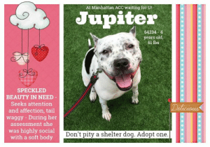 Animals, Children, and Complex: At Manhattan ACC waiting for U!  Jupiter  64234 4  years old  61 lbs  SPECKLED  BEAUTY IN NEED-  Seeks attention  Delicious  and affection, tail  waggy During her  assessment she  was highly social  with a soft body  Don't pity a shelter dog. Adopt one. TO BE KILLED - 6/15/2019  Feast your eyes on this delicious chocolate chip, Jupiter! A young, super friendly and easy girl with an unforgettable face! This big brown eyed girl is a nuzzler and a cuddler. Described as soft bodied, leans in with a wagging tail, and jump up greets. When not near people, you'll find her with a tail tucked and calm disposition. If her freckled face doesn't woo, then her supersized smile shall! She is completely adorable and well versed in making friends. Jupiter has so much to offer a fabulous home: a long life to devote unconditional love to, a happy disposition and open heart, and a true desire to connect; wrapped in the most sweet looking package. Please message this page if you would like to save her.  MY MOVIE: Jupiter is a freckled and friendly cutie! https://www.youtube.com/watch?v=1OfTmPs0Xv0  JUPITER@MANHATTAN ACC Hello, my name is Jupiter My animal id is #64234 I am a female black dog at the  Manhattan Animal Care Center The shelter thinks I am about 4 years old, 61 lbs Came into shelter as a agency May 28, 2019 Jupiter is rescue only   Jupiter is at risk for behavioral reasons. Jupiter has a history of biting another dog in the previous home environment and would benefit from placement with a new hope partner that can provide further behavior assessment and modification. Medically, Jupiter was diagnosed with canine infectious respiratory disease complex which is contagious to other animals and will require in home care.  BEHAVIOR NOTES   Means of surrender (length of time in previous home): Stray (in home for one month) Previously lived with: 1 adult, 7 dogs Behavior toward strangers: friendly, wags tail Behavior toward children: unknown Resource guarding: Unknown Bite history: Yes, Jupiter bit two of the seven small dogs that she was living with temporarily. Jupiter had lived with these dogs for one month and no previous issues had been seen or reported. The reason for the bites are unknown. One dog was killed by the bite and the other dog had punctures and broken skin from the bite.  Housetrained: Unknown  SAFER ASSESSMENT: Date of assessment: 4-Jun-2019  Summary:  Leash Walking Strength and pulling: Moderate Reactivity to humans: None Reactivity to dogs: None Leash walking comments: None  Sociability Loose in room (15-20 seconds): Highly social Call over: Approaches readily Sociability comments: Body soft, wagging tail, jumps up  Handling  Soft handling: Seeks contact Exuberant handling: Seeks contact Comments: Body soft, jumps up, leans in  Arousal Jog: Follows (exuberant) Arousal comments: None  Knock: Approaches (loose) Knock Comments: jumps up  Toy: Grips, relinquishes Toy comments: None  ENERGY LEVEL: We have no history on Jupiter so we cannot be certain of her behavior in a home environment. However, she is a young, enthusiastic, social dog who will need daily mental and physical activity to keep her engaged and exercised. We recommend long-lasting chews, food puzzles, and hide-and-seek games, in additional to physical exercise, to positively direct her energy and enthusiasm.   BEHAVIOR DETERMINATION: New Hope Only Behavior Asilomar TM - Treatable-Manageable  Recommendations:  Place with a New Hope partner  Recommendations comments:  Place with a New Hope partner: Due to Jupiter's bite history where she bit two small dogs in the home, killing one and leaving punctures and broken skin on the other, we recommend Jupiter be placed with a New Hope Partner who can provide any necessary behavior modification and behavior management.  Potential challenges:  Basic manners/poor impulse control Multiple-bite history/risk of future aggression Bite history (dog)  Potential challenges comments:  Basic manners/poor impulse control: Jupiter jumps up on handlers in a social manner. Please see handout on Basic manners/poor impulse control.   Multiple-bite history (dog)/risk of future aggression: Jupiter has a multiple bite history where she bit two small dogs in a previous home. One dog was killed by the bite and the other dog had punctures and broken skin from the bite. The motivation for these bites are unknown. Please see handout on Bite History.   MEDICAL EXAM NOTES   12-Jun-2019  Progress Exam S: CIRDC recheck 7 days  O: BAR, euhydrated EENT: Mild serous nasal discharge present Oral Exam: pink mm MSI: Ambulatory x 4, healthy hair coat Mentation: normal A:  1. Resolving CIRDC P:  1.Continue treatment in isolation 2. Recheck on day 10 MG  6-Jun-2019  Progress Exam SO: on rounds lethargic not wanting to get up from bed Mucoid nasal d/c and sneezing A: CIRDC P: transfer to iso enrofloxacin 204mg 1.5tablet sid x10d cerenia 60mg 1/2 tablet sid x4d recheck in 7d  29-May-2019  DVM Intake Exam Estimated age:4-6y Microchip noted on Intake?n Microchip Number (If Applicable): History :stray-o known Subjective: Observed Behavior -wags tail when approached, head down, nuzzles examiner and seeks comfort/petting. muzzled as precaution. tail tucked when not interacting with people. Evidence of Cruelty seen -n Evidence of Trauma seen -n Objective  T = P =50 R =wnl BCS 7/9 EENT: Eyes clear, ears clean, no nasal or ocular discharge noted Oral Exam:front teeth clean PLN: No enlargements noted H/L: NSR, NMA, Lungs clear, eupnic ABD: Non painful, no masses palpated U/G:no spay scar seen MSI: Ambulatory x 4, skin free of parasites, no masses noted, healthy hair coat CNS: Mentation appropriate - no signs of neurologic abnormalities Assessment: healthy Prognosis:good Plan:ohe SURGERY: Okay for surgery   JUPITER IS RESCUE ONLY…..TO SAVE THIS PUP YOU MUST FILL OUT APPLICATIONS WITH AT LEAST 3 NEW HOPE RESCUES. PLEASE HURRY!!!   IF YOU CAN FOSTER OR ADOPT THIS PUP, PLEASE PM OUR PAGE FOR ASSISTANCE. WE CAN PROVIDE YOU WITH LINKS TO APPLICATIONS WITH NEW HOPE RESCUES WHO ARE CURRENTLY PULLING FROM THE NYC ACC.  PLEASE SHARE THIS DOG FOR A HOME TO SAVE HER LIFE.