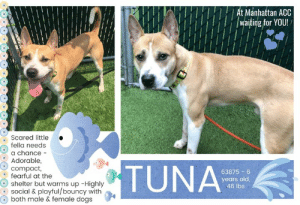 Animals, Children, and Complex: At Manhattan ACC  waiting for YOU!  Scared little  fella needs  a chance  Adorable,  TUNA  compact,  fearful at the  63875 6  years old  46 lbs  shelter but warms up -Highly  social & playful/bouncy with  both male & female dogs TO BE KILLED - 6/6/2019  Prepare to have your heart melt over this foxy fella, complete with a creamsicle coat, and perfectly rimmed eyes. Yes, he is strikingly handsome, but his, is a story of bravery and courage. When officers cornered him, his fear was so profound, he tried to climb the wall literally in a desperate attempt to flee. One can only imagine the experience he had been through prior to this for such a reaction. Initially at the care center, he tried to protect himself, but once introduced to the doggie group, he could not hide himself a moment longer. He blossomed, and literally partied heartily. That was when Tuna understood that friends were to be made at the lonely shelter. His photos show him enjoying the outdoors, a very different boy from what was initially described. Tuna is a prime example of a young, innocent doggie, frightened out of his mind from the unknown, but so willing to trust kindness. Doggies like him are most vulnerable and slip through the cracks. Tuna would love to join a doggie family, he is a smart, dashing and sociable boy. The shelter remarks that when solicited, he readily approaches soft and wiggly. Though everyone is rooting for him, time is not on his side. Please message this page if you are interested in fostering or adopting this brave boy.  TUNA@MANHATTAN ACC Hello, my name is Tuna My animal id is #63875 I am a male white dog at the  Manhattan Animal Care Center The shelter thinks I am about 6 years old, 46 lbs Came into shelter as a agency May 25, 2019 Tuna is rescue only   Tuna is at risk for behavioral reasons. Tuna has exhibited distance increasing behaviors while at the care center and has allowed for only minimal handling. Tuna would be best suited for placement with a new hope partner that can provide the necessary behavior modification. Medically, Tuna was diagnosed with canine infectious respiratory disease complex which is contagious to other animals and will require in home care.  My medical notes are... Weight: 46.6 lbs L V T Notes Vet Notes 25/05/2019  Due to behavior animal was placed directly in kennel with no weight or vaccines. Animal was poled by ESU to transport. When poled at ACC due to lunging and biting carrier bars dog broke off several teeth tips (found in room) and rubbed gums raw.  Details on my behavior are... Behavior Condition: 5. Red  Behavior History Behavior Assessment How is this dog around strangers?: As per the officer the dog was very scared, had the tail between the legs. The dog tried to climb up the building when it felt cornered. At the time of intake the dog was barking and scared.  Date of intake:: 5/25/2019  Means of surrender (length of time in previous home):: Stray  Behavior toward strangers:: very scared, tucked tail, barking  Date of assessment:: 5/28/2019  Summary:: Leash Walking Strength and pulling: Moderate Reactivity to humans: None Reactivity to dogs: None Leash walking comments: None  Sociability Loose in room (15-20 seconds): Moderately social Call over: Approaches readily Sociability comments: Appears anxious in room, jumping up door, panting, and whining. Approaches the assessor and jumps up, then runs back to the door. Once the assessor moves to take his collar, Tuna begins barking and backing away. The rest of the assessment is not completed due to Tuna's stress levels.  Summary:: Due to arrival as a stray, Tuna's history around dogs is not known. Tuna has opened up significantly around other dogs in the care center and may benefit from continued socialization around other dogs in the future as well.  5/30: When introduced off leash to male and female dogs, Tuna is highly social and playful.  6/1: Tuna engages in bouncy play with male and female dogs.  Date of intake:: 5/25/2019  Summary:: lunging, barking, biting bars, no handling  Date of initial:: 5/25/2019  Summary:: Growling, lunging, sedated for exan  ENERGY LEVEL:: We have no history on Tuna so we cannot be certain of his behavior in a home environment.  IN SHELTER OBSERVATIONS:: 5/31/19: Tuna approaches the front of his kennel but is a bit fearful of the leash, dodging it repeatedly. He then begins barking at the handler with a wagging tail. After letting him calm down, the handler is able to leash him and he walks well on leash. While outside off leash, Tuna is distracted by the dog in the adjacent pen and begins whining at the fence and wagging his tail. He approaches the handler on the bench, jumps up and puts his legs in handler's lap, allowing pets on his head and body. He engages in soft, bouncy play with the ball for a few minutes. He needs coaxing to return back to kennel.  Laura Angley  BEHAVIOR DETERMINATION:: New Hope Only  Behavior Asilomar: TM - Treatable-Manageable  Recommendations:: No children (under 13),Place with a New Hope partner  Recommendations comments:: No children: At the care center, Tuna has been fearful of new handlers and handling. For this reason, we recommend an adult-only home for Tuna.   Place with a New Hope partner: Tuna has not acclimated well to the kennel environment and has only allowed handling from certain handlers. When handled in certain, quick ways, he has snapped. We recommend adult-only placement with a New Hope partner who can provide any necessary behavior modification (force-free, positive reinforcement-based) and re-evaluate behavior in a stable home environment before placement into a permanent home.  Potential challenges: Handling/touch sensitivity,Fearful/potential for defensive aggression. Anxiety  Potential challenges comments:: Fearful/potential for defensive aggression: At the care center, Tuna has remained extremely fearful and has allowed handling only from specific handlers, snapping at other handlers. Upon intake and for several days after, he was lunging and snapping and when approached. Please see handout on Fearful/potential for defensive aggression.  Handling/touch sensitivity: Tuna has shown discomfort with quick handling, snapping when tangled in the leash and a handlers attempted to untangle him. Please see handout on Handling/touch sensitivity and go slowly with Tuna.  Anxiety: Tuna appears anxious at the care center, panting, pacing, and whining. Please see handout on Anxiety.  TUNA IS RESCUE ONLY…..TO SAVE THIS PUP YOU MUST FILL OUT APPLICATIONS WITH AT LEAST 3 NEW HOPE RESCUES. PLEASE HURRY!!!   IF YOU CAN FOSTER OR ADOPT THIS PUP, PLEASE PM OUR PAGE FOR ASSISTANCE. WE CAN PROVIDE YOU WITH LINKS TO APPLICATIONS WITH NEW HOPE RESCUES WHO ARE CURRENTLY PULLING FROM THE NYC ACC.  PLEASE SHARE THIS DOG FOR A HOME TO SAVE HIS LIFE.