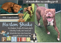 "Af, Being Alone, and Animals: at  manhuttun  ae  waiing  orU  44416-2y  ears Il mont  hs  Halem Shake  Very Handsome, friendly af fectonafe, playful.  kid cat/dog friendly, crate trained, well  behaved when home alone. knows basic  commands (Fearful at times)  FAMIL **** TO BE KILLED - 10/18/2018 ****  GUESS WHAT? The kids weren't holding up their part of the agreement (and that was taking good care of Harlem Shake) so he had to go. That's right. The parents took the dog and brought him to the shelter and now Harlem Shake is in grave danger because the shelter they dumped him at is a kill shelter. He's out of time already and he's been hustled to the kill list. We can't let Shake because his old family treated him like some stuffed animal who could be easily disposed of, like he doesn't have any feelings and the outcome here is irrelevant. Thank dawg for Facebook and its herd of dog lovers and animal advocates prepared to share Shake to the moon and back, and then some if need be. Harlem Shake lived with his family since he was a tiny tiny pup. In that home he lived in harmony with children and hung out with whatever friends they brought over, he did well with cats and he has spent time with both large and small dogs. The only thing missing is his second chance and happy ever after. Please read Shake's notes and then take a look at that adorable face again and consider fostering or adopting to save a life. When done right, it's quite rewarding.   HARLEM SHAKE@MANHATTAN ACC Hello, my name is Harlem Shake My animal id is #44416 I am a male red brown dog at the  Manhattan Animal Care Center The shelter thinks I am about 2 years 11 months,  Came into shelter as owner surrender Oct. 14, 2018  Reason stated: Kids not caring for animal  Harlem Shake is rescue only   Harlem Shake is at risk for behavior, Due to the low threshold for arousal Harlem Shake has displayed at the care center, combined with the fearful behavior described by his owner, we recommend he be placed with a New Hope placement partner who is able to provide an experienced adult-only foster home. A period of decompression is recommended to allow Harlem Shake to acclimate comfortably to his new environment. There are no medical concerns at this time.  My medical notes are... Vet Notes 17/10/2018 DVM Intake Exam Estimated age: Reported 2 years and 11 months - exam is consistent with this Microchip noted on Intake? Unable to complete microchip scan due to behavior History : Surrendered. Reportedly allergic to grass and has seasonal allergies - he loses patches of hair. Client gave him Benadryl and used hydrocortisone cream for this. Subjective: Alert in kennel. Due to behavior concerns, a visual exam was completed. Observed Behavior - Stiff, standing in his kennel. Barks repeatedly at me when I stand and watch him. Evidence of Cruelty seen - None Evidence of Trauma seen - None Objective  BAR, MMs pink, good body condition EENT: Ears appear clean from a distance, no nasal or ocular discharge noted. Oral Exam: Unable to perform PLN: Not palpated H/L: Eupnic, no coughing or sneezing. Not ausculted. ABD: Not distended. Not palpated. U/G: Male intact MSI: Ambulatory x 4, no masses noted, healthy hair coat from a distance. CNS: Mentation appropriate - no signs of neurologic abnormalities Rectal: Not performed. Assessment: Apparently healthy from visual exam. Prognosis: Good Plan: Sedation for intake tasks SURGERY:Okay for surgery if placed  1088  Details on my behavior are... Behavior History Behavior Assessment Upon intake, Animal did not allow handling. He accepted treats when they were passed to him on the floor, but he did not allow handling from anyone other than his owner. His owner removed his harness and leash, placed a muzzle on him, and walked him to his kennel. While being placed into his kennel, he did allow a staff member to remove his muzzle.  Date of Intake: 10/14/2018  Basic Information:: Animal is a roughly 3 year old intact male large mixed breed dog. He was surrendered to our facilities due to children not helping to care for him. The owner also has an ill family member that is their primary responsibility to care for. They had had Animal since he was born.  Previously lived with:: 3 adults, 3 children  How is this dog around strangers?: Around strangers, Animal tends to be frightened. He will bark and may jump if someone approaches him directly from the front. He is reportedly calmer if eye contact is avoided and spoken to in a calm voice. He is calmer when it is up to him if he would like to greet the stranger or not.  How is this dog around children?: Animal lived with three children and frequently had other children visit the home. Those children ranged from infants all the way to 17 years old. With younger children, he is more gentle and calm. Around older children, he will be a bit more rambunctious.  How is this dog around other dogs?: Animal has spent time with large and small dogs, both male and female. He is reportedly a little fearful at times. He has gone to dog parks where other dogs would jump on top of him. He did have a few dogs at the park that he was very close with.  How is this dog around cats?: Animal lived with one cat. The owner stated that for the first year, Animal would chase the cat and try to play. For the last two years, they had ignored each other.  Resource guarding:: Animal will allow you to take away treats or toys. The owner has handled things around Animal's food bowl while he is eating, but they had not tried to actually take his food away while he is eating.  Bite history:: Animal has never bitten another animal or a person.  Housetrained:: Yes  Energy level/descriptors:: Medium-high  Other Notes:: Animal will urinate when he is overstimulated, like when he is playing. Loud noises scare Animal and he may bark at them. During thunder storms, he usually whines, but he may bark softly. He is not bothered when pushed or pulled off of furniture (he also listens to the command ""down""), when held or restrained, when disturbed while sleeping or resting, or when his paws are touched. The owner did not try to trim his nails. He enjoys being brushed. When given a bath, he prefers to be bathed in a shower, not a tub full of water. He will bark or potentially growl if there are strangers in the hallway. If strangers approach his owner or family members calmly and quietly, he is not bothered. If the stranger sneaks up on the family member, then Animal may bark.  Has this dog ever had any medical issues?: Yes  Medical Notes: Animal is allergic to grass. He receives Benadryl and hydrocortizone cream to affected areas to treat any signs of allergic reactions. He also experiences seasonal allergies.  For a New Family to Know: Animal is described as being friendly, affectionate, playful, shy, at times mellow and at others excitable, and fearful. When you are home, he follows you around for 15-20 minutes, then he goes to a favorite spot. He likes to play with balls and squeaky toys. He will play fetch and tug of war. He has been kept indoors only. He used to sleep with the owner's daughter. He was fed Blue Buffalo brand dry food twice a day. He will eat any treats offered. He is mostly house-trained. He will only urinate inside when he gets overstimulated, like when he is playing. He will use the bathroom outside on any surface. When left home alone, he is well-behaved. Recently, there was one incident in which he got into the garbage when left home alone, but that is the first time he had done that since he was a young puppy. He has never been left alone in a yard. He is crate trained and does well for about 6-7 hours. He knows the commands sit, down, stay, and off. He is used to walks on the leash and trips to the dog park for exercise. While on the leash, he pulls very hard with some people and not at all with others. He has not been walked off leash before. His favorite thing to do is take a nap after his walks.  Date of intake:: 10/14/2018 Spay/Neuter status:: No Means of surrender (length of time in previous home):: Owner Surrender (In home for 3 years)\ Previously lived with:: Adults, children (ages infant-17), and cat Behavior toward strangers:: Barks and lunges if they approach him Behavior toward children:: Gentle and calm around the young children in the home Behavior toward dogs:: Fearful at times, playful with some dogs at the dog park Behavior toward cats:: Ignores Resource guarding:: None reported Bite history:: None reported Housetrained:: Yes  Energy level/descriptors:: Harlem Shake is described as friendly, affectionate, playful, shy, at times mellow and at others excitable, and fearful with a medium-high level of activity.  Date of assessment:: 10/17/2018  Summary:: Harlem Shake was very social towards the assessor but when the assessor began to pet him, he started to jump up and mouth the assessor with moderate pressure, as well as mount the assessor. All of this behavior appeared social, but he continued to do this and would not calm down, his excitement and mouthing continued to escalate. For this reason, a handling assessment was unable to be preformed.  Summary:: The previous owner of Harlem Shake cites that he is fearful around some dogs, while playful around others. Harlem Shake displayed exuberant play behavior toward the helper dog while in our care center. Slow introductions are recommended between Harlem Shake and dogs who are tolerant of exuberant play behavior.  Summary (1):: 10/15: Harlem Shake is unable to be collared for off leash interaction as of this time. When introduced through the fence, he displays initially tense body language, then softens with a wagging tail.  Summary (2):: 10/16: Harlem Shake engages in exuberant off leash play with the female helper dog. He continues to solicit rough play from the other dog when they become uncomfortable.  Date of intake:: 10/14/2018  Summary:: Lunged and barked when people entered the room.  ENERGY LEVEL:: Harlem Shake is described as having a medium-high level of activity. We recommend long-lasting chews, food puzzles, and hide-and-seek games, in additional to physical exercise, to positively direct his energy and enthusiasm.  IN SHELTER OBSERVATIONS:: Harlem Shake takes time to acclimate to new people, but after he is ignored and given some treats he warms up to the handler and becomes very social, jumping up and soliciting attention. He becomes highly aroused, mouthing and mounting the handler, but remains social.  BEHAVIOR DETERMINATION:: NEW HOPE ONLY Behavior Asilomar: TM - Treatable-Manageable Recommendations:: No children (under 13),Place with a New Hope partner Recommendations comments:: No children: Due to the low threshold for arousal Harlem Shake has displayed at the care center, combined with the fearful behavior described by his owner, we recommend an adult only home. Place with a New Hope partner: Due to the low threshold for arousal Harlem Shake has displayed at the care center, combined with the fearful behavior described by his owner, we recommend he be placed with a New Hope placement partner who is able to provide an experienced adult-only foster home. A period of decompression is recommended to allow Harlem Shake to acclimate comfortably to his new environment; force-free, reward based training only is advised when introducing Harlem Shake to new and unfamiliar situations. Consultation with a professional trainer/behaviorist is highly recommended for guidance to safely manage/modify any behavior Harlem Shake presents with outside of the care centers. Potential challenges: : Basic manners/poor impulse control,Social hyperarousal,Mouthiness/poor bite inhibition,Fearful/potential for defensive aggression,Low threshold for arousal  Potential challenges comments:: Basic manners/poor impulse control: Harlem Shake jumps up a lot on people in a social manner. It is recommended that default behaviors such as ""Leave it"", ""Sit/Stay"", ""Down"" are reinforced to substitute any frustration and teach him to control his impulses instead of simply reacting; proper management is also advised. Force-free, reward based training only is recommended.  Social hyperarousal: Harlem Shake quickly becomes over aroused in the presence of people, jumping up and mouthing. Positive reinforcement, force-free training should be used to teach Harlem Shake to remain calm when people and other exciting things are around. He should be reward with treats when calm. If he escalates to jumping or mouthing, people should immediately walk away from and separate themselves from Harlem Shake.  Mouthiness/poor bite inhibition: Harlem Shake has shown some mouthiness in the care center. He is quick to put teeth on skin and applies moderate pressure, so this is a behavior that should be extinguished through training alternate behaviors and lack of reward (ex. walking away whenever Harlem Shake's teeth make contact with skin).   Fearful/potential for defensive aggression: Harlem Shake's previous owner reported him to be fearful of new people, especially men, barking at them if they approached him head on. At the care center, he has displayed this behavior, backing away and barking when approached by a new person. He appears to do better with new people when they ignore him and allow him to come to them, especially when treats are offered. It is important to always go slow and give Harlem Shake the option to walk away from any social interaction. Harlem Shake should never be forced to approach anything that he is uncomfortable with or to submit to petting or handling. It should always be Harlem Shake's choice to approach a new person or thing. Harlem Shake would do best in an initially calm and quiet home environment and should be given time to acclimate to his new surroundings.  HARLEM SHAKE IS RESCUE ONLY…..TO SAVE THIS PUP YOU MUST FILL OUT APPLICATIONS WITH AT LEAST 3 NEW HOPE RESCUES. PLEASE HURRY!!!   IF YOU CAN FOSTER OR ADOPT THIS PUP, PLEASE PM OUR PAGE FOR ASSISTANCE. WE CAN PROVIDE YOU WITH LINKS TO APPLICATIONS WITH NEW HOPE RESCUES WHO ARE CURRENTLY PULLING FROM THE NYC ACC.  PLEASE SHARE THIS DOG FOR A HOME TO SAVE HIS LIFE."