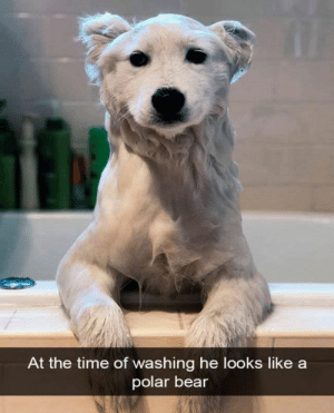 Animals, Dogs, and Memes: At the time of washing he looks like a  polar bear Dog Memes Of The Day 32 Pics – Ep37 #dogs #doglovers #lovelyanimalsworld - Lovely Animals World