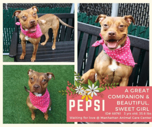 Beautiful, Dogs, and Love: ATATAMATAGABA  A GREAT  COMPANION &  PEPSI  BEAUTIFUL,  SWEET GIRL  ID# 68761 3 yrs old, 35.6 lbs  Waiting for love @ Manhattan Animal Care Center INTAKE DATE: 07-11-2019   PETITE AND PRETTY and OH SO SWEET AND FRIENDLY -  A COMPLETE LAPDOG!     Watch her video and listen to how volunteer Evelyne Cumps raves about what a good and beautiful girl she is.  She is a good walker, follows you, gives kisses freely, friendly with dogs and people!  She will make a great companion!  She is waiting to be your pet @ Manhattan ACC.  Please consider opening your home and your heart to this SWEETHEART!  Pepsi has been rated Rescue Only so please contact this page for assistance!     MY MOVIE: Pepsi is a super sweetheart! https://youtu.be/LMqfKg21Rm8   PEPSI, ID# 68761 3 yrs old, 35.6 lbs Manhattan Animal Care Center Medium Mixed Breed Cross, Brown Female Owner Surrender Reason: Shelter Assessment Rating: NEW HOPE ONLY Medical Behavior Rating:      *** TO FOSTER OR ADOPT ***  If you would like to adopt a NYC ACC dog, and can get to the shelter in person to complete the adoption process, you can contact the shelter directly. We have provided the Brooklyn, Staten Island and Manhattan information below. Adoption hours at these facilities is Noon – 8:00 p.m. (6:30 on weekends)  If you CANNOT get to the shelter in person and you want to FOSTER OR ADOPT a NYC ACC Dog, you can PRIVATE MESSAGE our Must Love Dogs page for assistance. PLEASE NOTE: You MUST live in NY, NJ, PA, CT, RI, DE, MD, MA, NH, VT, ME or Northern VA. You will need to fill out applications with a New Hope Rescue Partner to foster or adopt a NYC ACC dog. Transport is available if you live within the prescribed range of states.  Shelter contact information: Phone number (212) 788-4000 Email adopt@nycacc.org Shelter Addresses: Brooklyn Shelter: 2336 Linden Boulevard Brooklyn, NY 11208 Manhattan Shelter: 326 East 110 St. New York, NY 10029 Staten Island Shelter: 3139 Veterans Road West Staten Islan