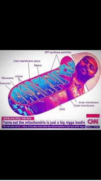 "cnn.com, Memes, and Nas: ATP synthase particles  inter membrane space  Matrix  Ribosome Cristae  Granules  Dur.sis  Inner membrane  Outer membrane  DNA  BREAKING NEWS  Turns out the mitochondria is iust a big nigga boolin CNN  This can cure cancer Years of studies show that the mitochondria is just one phat nigga NAS A 17.0S <p>Are deep fried memes fading away? I've been seeing less and less of them recently via /r/MemeEconomy <a href=""http://ift.tt/2AeUBiq"">http://ift.tt/2AeUBiq</a></p>"
