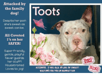 "TO BE KILLED – 9/14/2017  <3  Attacked by the other family dog, a petite sweet girl sits in pain, alone and dreaming of a family who deserves her!    The medical staff at the Manhattan Center are smitten with Toots, exclaiming that she is a friendly, VERY sweet girl.  So it's too bad that after her first painful ordeal of having the other family dog attack her, she is now facing her death on Wednesday because she caught the dreaded ""shelter cold.""   Believe us when we tell you, this girl is a LOVE!   Wiggly, adorable and wonderful, she only wants to be loved.  She shares her stuff and never guards, she doesn't even mind baths – she won't try to jump out of the tub at all!   She's super friendly with everyone (even strangers), and is playful, loving and affectionate - always up for meeting new friends.   Housetrained, she also knows ""sit"" and her favorite thing is to go running and jogging with her parent for exercise.   On intake this poor girl was so sore and battered from having been bitten by her sibling that she walked stiffly into the room.  Despite her terrible pain, she was so darn sweet, and good, allowing them to put a collar on her chewed up neck, scan her for a chip, take her picture--- the works.  She even went into the kennel by herself with no prodding.  Our hearts ache for Toots.  She is a good girl who deserves a decent family – one that does proper dog management, alters their pets, and protects them from harm.   It's important to note that Toots is so perfect that she got all PERFECT SAFER SCORES too – 1's across the board.   So don't let this incredible girl die on 9/14.  Give her the family she always dreamed of as a pup, a family who deserves her and will love her all of her life.  PM our page for assistance if you can foster or adopt Toots now.  Toots would be happiest in a home with adults and older respectful children rather than babies and toddlers (they scare her).  09/13/2017 AT RISK MEMO Toots A1123695 is at risk due to CIRDC diagnosis.  MOST RECENT MEDICAL INFORMATION AND WEIGHT 09/13/2017 Exam Type MS NEW URI – Medical Rating is 3 C – MAJOR CONDITIONS , Behavior Rating is NONE, Weight 39.4 LBS.  S/O BAR, energetic and friendly, very sweet girl!! sneezing, slightly mucoid nasal discharge bite wound/excoriations along R side of face almost resolved appears eupnic A CIRDC Bite wounds-almost resolved P move to isolation baytril 136 mg tabs: 1.5 t SID x 14 days  08/29/2017 PET PROFILE MEMO 08/29/17 17:45 Basic Information: Toots is a 2 year old, white and brown female dog. She was purchased off of a breeder but the owner cannot keep her due to the aggression toward another dog in the home. She last went to the vet about 7 months ago and had no known health problems. Socialization: Around strangers Toots is friendly but around children she shows signs of aggression and growls at the new baby in the home. She plays somewhat rough with adults and doesn't play with the children. Toots doesn't like the other large breed dog in the home and is aggressive but is playful towards the smaller breed dog in the home. She has never bitten another person but has bitten another dog. Behavior: Toots isn't bothered by people touching her food bowl or taking a toy or bone away from her. She doesn't mind the bath and won't try to jump out at all. For a New Family to Know: Toots is friendly and has a medium activity level. She loves to run around and play with ball and stuffed toys. She eats dry, Pedigree dog food. She is house trained and goes potty outside on the grass and well behaved in the yard. Her commands she knows are sit and she goes running and jogging for exercise. Off the leash, Toots will stay close by your side. Behavior During Intake: Toots walked in slowly with a stiff body and head down. She allowed me to collar her and scan her for a microchip. She allowed me to take a picture of her and when it came to going in the kennel she had a very loose body and stepped in by herself.  WEB MEMO No Web Memo  09/06/2017 BEHAVIOR EVALUATION – EXPERIENCE Exam Type BEHAVIOR KNOWN HISTORY: Full Profile 8/29/17 Unaltered Female, Owner Surrender (In previous home for two years) Previously lived with: Adults, a baby, a large dog, and small dog Behavior toward strangers: Friendly Behavior toward children: Growls at the new baby in the home Behavior toward dogs: Does not get along with the large dog in the home, is playful with the small dog Behavior toward cats: Unknown Resource guarding: None reported Bite history: Yes, the other dog in the home bit Toots and a fight began between the two dogs where both dogs bit each other multiple times. Housetrained: Yes Energy level/descriptors: Toots is described as friendly with a medium level of activity. SAFER ASSESSMENT: 9/6/17 Look: 1. Dog holds gaze with soft eyes, soft body. She allows head to be held loosely in Assessor's cupped hands. Dog holds gaze for three full seconds. Sensitivity: 1. Dog sits still and accepts the touch, her eyes are averted, and her tail is in neutral position with relaxed body posture. Dog's mouth is closed. Tag: 1. Follows at end of leash, body soft Squeeze 1: 1. Dog gently pulls back her paw. Squeeze 2: 1. Dog gently pulls back her paw. Toy: 1. Minimal interest, dog sniffs toy. Summary: Toots displayed no concerning behaviors on her assessment and was social throughout, soliciting attention. INTAKE BEHAVIOR: Upon intake, Toots had a tense body but became loose and allowed handling. MEDICAL BEHAVIOR: 8/29/17 During her initial medical exam, Toots allowed handling. ENERGY LEVEL: Toot's previous owner described her as having a medium level of activity.  RECOMMENDATIONS: Experience (suitable for an adopter with some previous dog experience, especially with behaviors outlined below) _X_No young children (under 5): Due Toot's reported history of growling at the baby in the home, we recommend a home without young children. Potential challenges: _X_Fearful/potential for defensive aggression: Toots previous owner reported she growls at the new baby in the home. It is important to always go slow and give Toots the option to walk away from any social interaction. Toots should never be forced to approach anything that she is uncomfortable with or to submit to petting or handling. It should always be Toots' choice to approach a new person or thing. Toots would do best in an initially calm and quiet home environment and should be given time to acclimate to her new surroundings.  GROUP BEHAVIOR EVALUATION  No Group Behavior Summary  08/30/2017 DVM INTAKE PHYSICAL EXAM Medical rating was 3 NC – MAJOR CONDITIONS NOT CONTAGIOUS, behavior rating was NONE DVM Intake Exam Estimated age: reported to be 2 years, age consistent with exam Microchip noted on Intake? History :owner surrendered BG and Toots because they had a big fight at home, both have visible wounds Subjective: BAR Observed Behavior – a little shy but docile and allows all handling Evidence of Cruelty seen – none Evidence of Trauma seen – bite wounds on face Objective BCS 5/9 EENT: no nasal discharge, OU-open and clear, AU-dried blood on pinna and in canals Oral Exam: mm pk, sl tacky; CRT <2 sec; mild tartar PLN: No enlargements noted H/L: NSR, NMA, CRT < 2, Lungs clear, eupnic ABD: Non painful, no masses palpated U/G: female intact, prominent vulva and mammary glands MSI: ambulatory x 4 with no lameness noted superficial abrasions and puncture wounds along back of head and R side of face/neck with moderate edematous swelling along R side and copious amount of dried blood in fur CNS: mentation appropriate – no signs of neurologic abnormalities Rectal: not performed Assessment Bite wounds-superificial, no signs of infection Plan Simplicef 200 mg PO SID x 14 days Rimadyl 75 mg PO SID x 5 days Prognosis: good SURGERY: Okay for surgery  09/13/2017 MS NEW URI (LAST MAJOR EXAM) Medical rating 3 C – MAJOR CONDITIONS , S/O BAR, energetic and friendly, very sweet girl!! sneezing, slightly mucoid nasal discharge bite wound/excoriations along R side of face almost resolved appears eupnic A CIRDC Bite wounds-almost resolved P move to isolation baytril 136 mg tabs: 1.5 t SID x 14 days  Generated on Sep 13 2017 6:00PM  TOOTS, A1123695, MANHATTAN CC  @ 2 YRS. OLD, 39.4 LBS.  PIT BULL MIX, UNALTERED FEMALE OWNER SURRENDER REASON: BITEANIMAL (The other dog in the house bit TOOTS, and started a fight w/her) SHELTER ASSESSMENT RATING: EXPERIENCE  TOOTS, A1123695 is available to be reserved on the ACC website until noon of September 14 http://www.nycacc.org/PublicAtRisk.htm   For guidance or assistance with fostering or adopting this pup, please PM our page.   SHELTER EMAIL adoption@nycacc.org (only if you can pick dog up personally)  SHELTER PHONE NUMBER (212) 788-4000  Address: 326 East 110th ST, (Between 1st and 2nd Aves), New York, NY 10029  Operating hours: Adoption starts at noon till 8 pm  (TILL 6:00 ON WEEKENDS)  DO NOT CONTACT ACC IF YOU CANNOT GO TO THE ACC TO PICK UP. Please do not hesitate to post here for help if you want to save this pup.    PLEASE SHARE THIS POOR, SWEET GIRL FOR A HOME TO SAVE HER LIFE!: Attacked by  the family  dog!  tots  Despite her pain  she's sweet as  sweet can be.  All Coveted  l's on her  SAFER!  Super Priendly,  gentle, playful  Never guards  her stupfI  Housetrained  Loves to jog  A1123695, 2 YRS. OLD, 39 LBS. OF SWEET!  WAITING FOR YOU IN MANHATTAN  XOXO TO BE KILLED – 9/14/2017  <3  Attacked by the other family dog, a petite sweet girl sits in pain, alone and dreaming of a family who deserves her!    The medical staff at the Manhattan Center are smitten with Toots, exclaiming that she is a friendly, VERY sweet girl.  So it's too bad that after her first painful ordeal of having the other family dog attack her, she is now facing her death on Wednesday because she caught the dreaded ""shelter cold.""   Believe us when we tell you, this girl is a LOVE!   Wiggly, adorable and wonderful, she only wants to be loved.  She shares her stuff and never guards, she doesn't even mind baths – she won't try to jump out of the tub at all!   She's super friendly with everyone (even strangers), and is playful, loving and affectionate - always up for meeting new friends.   Housetrained, she also knows ""sit"" and her favorite thing is to go running and jogging with her parent for exercise.   On intake this poor girl was so sore and battered from having been bitten by her sibling that she walked stiffly into the room.  Despite her terrible pain, she was so darn sweet, and good, allowing them to put a collar on her chewed up neck, scan her for a chip, take her picture--- the works.  She even went into the kennel by herself with no prodding.  Our hearts ache for Toots.  She is a good girl who deserves a decent family – one that does proper dog management, alters their pets, and protects them from harm.   It's important to note that Toots is so perfect that she got all PERFECT SAFER SCORES too – 1's across the board.   So don't let this incredible girl die on 9/14.  Give her the family she always dreamed of as a pup, a family who deserves her and will love her all of her life.  PM our page for assistance if you can foster or adopt Toots now.  Toots would be happiest in a home with adults and older respectful children rather than babies and toddlers (they scare her).  09/13/2017 AT RISK MEMO Toots A1123695 is at risk due to CIRDC diagnosis.  MOST RECENT MEDICAL INFORMATION AND WEIGHT 09/13/2017 Exam Type MS NEW URI – Medical Rating is 3 C – MAJOR CONDITIONS , Behavior Rating is NONE, Weight 39.4 LBS.  S/O BAR, energetic and friendly, very sweet girl!! sneezing, slightly mucoid nasal discharge bite wound/excoriations along R side of face almost resolved appears eupnic A CIRDC Bite wounds-almost resolved P move to isolation baytril 136 mg tabs: 1.5 t SID x 14 days  08/29/2017 PET PROFILE MEMO 08/29/17 17:45 Basic Information: Toots is a 2 year old, white and brown female dog. She was purchased off of a breeder but the owner cannot keep her due to the aggression toward another dog in the home. She last went to the vet about 7 months ago and had no known health problems. Socialization: Around strangers Toots is friendly but around children she shows signs of aggression and growls at the new baby in the home. She plays somewhat rough with adults and doesn't play with the children. Toots doesn't like the other large breed dog in the home and is aggressive but is playful towards the smaller breed dog in the home. She has never bitten another person but has bitten another dog. Behavior: Toots isn't bothered by people touching her food bowl or taking a toy or bone away from her. She doesn't mind the bath and won't try to jump out at all. For a New Family to Know: Toots is friendly and has a medium activity level. She loves to run around and play with ball and stuffed toys. She eats dry, Pedigree dog food. She is house trained and goes potty outside on the grass and well behaved in the yard. Her commands she knows are sit and she goes running and jogging for exercise. Off the leash, Toots will stay close by your side. Behavior During Intake: Toots walked in slowly with a stiff body and head down. She allowed me to collar her and scan her for a microchip. She allowed me to take a picture of her and when it came to going in the kennel she had a very loose body and stepped in by herself.  WEB MEMO No Web Memo  09/06/2017 BEHAVIOR EVALUATION – EXPERIENCE Exam Type BEHAVIOR KNOWN HISTORY: Full Profile 8/29/17 Unaltered Female, Owner Surrender (In previous home for two years) Previously lived with: Adults, a baby, a large dog, and small dog Behavior toward strangers: Friendly Behavior toward children: Growls at the new baby in the home Behavior toward dogs: Does not get along with the large dog in the home, is playful with the small dog Behavior toward cats: Unknown Resource guarding: None reported Bite history: Yes, the other dog in the home bit Toots and a fight began between the two dogs where both dogs bit each other multiple times. Housetrained: Yes Energy level/descriptors: Toots is described as friendly with a medium level of activity. SAFER ASSESSMENT: 9/6/17 Look: 1. Dog holds gaze with soft eyes, soft body. She allows head to be held loosely in Assessor's cupped hands. Dog holds gaze for three full seconds. Sensitivity: 1. Dog sits still and accepts the touch, her eyes are averted, and her tail is in neutral position with relaxed body posture. Dog's mouth is closed. Tag: 1. Follows at end of leash, body soft Squeeze 1: 1. Dog gently pulls back her paw. Squeeze 2: 1. Dog gently pulls back her paw. Toy: 1. Minimal interest, dog sniffs toy. Summary: Toots displayed no concerning behaviors on her assessment and was social throughout, soliciting attention. INTAKE BEHAVIOR: Upon intake, Toots had a tense body but became loose and allowed handling. MEDICAL BEHAVIOR: 8/29/17 During her initial medical exam, Toots allowed handling. ENERGY LEVEL: Toot's previous owner described her as having a medium level of activity.  RECOMMENDATIONS: Experience (suitable for an adopter with some previous dog experience, especially with behaviors outlined below) _X_No young children (under 5): Due Toot's reported history of growling at the baby in the home, we recommend a home without young children. Potential challenges: _X_Fearful/potential for defensive aggression: Toots previous owner reported she growls at the new baby in the home. It is important to always go slow and give Toots the option to walk away from any social interaction. Toots should never be forced to approach anything that she is uncomfortable with or to submit to petting or handling. It should always be Toots' choice to approach a new person or thing. Toots would do best in an initially calm and quiet home environment and should be given time to acclimate to her new surroundings.  GROUP BEHAVIOR EVALUATION  No Group Behavior Summary  08/30/2017 DVM INTAKE PHYSICAL EXAM Medical rating was 3 NC – MAJOR CONDITIONS NOT CONTAGIOUS, behavior rating was NONE DVM Intake Exam Estimated age: reported to be 2 years, age consistent with exam Microchip noted on Intake? History :owner surrendered BG and Toots because they had a big fight at home, both have visible wounds Subjective: BAR Observed Behavior – a little shy but docile and allows all handling Evidence of Cruelty seen – none Evidence of Trauma seen – bite wounds on face Objective BCS 5/9 EENT: no nasal discharge, OU-open and clear, AU-dried blood on pinna and in canals Oral Exam: mm pk, sl tacky; CRT <2 sec; mild tartar PLN: No enlargements noted H/L: NSR, NMA, CRT < 2, Lungs clear, eupnic ABD: Non painful, no masses palpated U/G: female intact, prominent vulva and mammary glands MSI: ambulatory x 4 with no lameness noted superficial abrasions and puncture wounds along back of head and R side of face/neck with moderate edematous swelling along R side and copious amount of dried blood in fur CNS: mentation appropriate – no signs of neurologic abnormalities Rectal: not performed Assessment Bite wounds-superificial, no signs of infection Plan Simplicef 200 mg PO SID x 14 days Rimadyl 75 mg PO SID x 5 days Prognosis: good SURGERY: Okay for surgery  09/13/2017 MS NEW URI (LAST MAJOR EXAM) Medical rating 3 C – MAJOR CONDITIONS , S/O BAR, energetic and friendly, very sweet girl!! sneezing, slightly mucoid nasal discharge bite wound/excoriations along R side of face almost resolved appears eupnic A CIRDC Bite wounds-almost resolved P move to isolation baytril 136 mg tabs: 1.5 t SID x 14 days  Generated on Sep 13 2017 6:00PM  TOOTS, A1123695, MANHATTAN CC  @ 2 YRS. OLD, 39.4 LBS.  PIT BULL MIX, UNALTERED FEMALE OWNER SURRENDER REASON: BITEANIMAL (The other dog in the house bit TOOTS, and started a fight w/her) SHELTER ASSESSMENT RATING: EXPERIENCE  TOOTS, A1123695 is available to be reserved on the ACC website until noon of September 14 http://www.nycacc.org/PublicAtRisk.htm   For guidance or assistance with fostering or adopting this pup, please PM our page.   SHELTER EMAIL adoption@nycacc.org (only if you can pick dog up personally)  SHELTER PHONE NUMBER (212) 788-4000  Address: 326 East 110th ST, (Between 1st and 2nd Aves), New York, NY 10029  Operating hours: Adoption starts at noon till 8 pm  (TILL 6:00 ON WEEKENDS)  DO NOT CONTACT ACC IF YOU CANNOT GO TO THE ACC TO PICK UP. Please do not hesitate to post here for help if you want to save this pup.    PLEASE SHARE THIS POOR, SWEET GIRL FOR A HOME TO SAVE HER LIFE!"