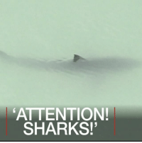 "Memes, School, and Shark: ATTENTION!  SHARKS! MAY 12: Footage shows a sheriff's helicopter crew warning paddle-boarders they are swimming next to 15 great white sharks off the southern Californian coast. The Orange County Sheriff's Department spotted the school from the air near Dana Point on Wednesday, instructing the swimmers to ""exit the water in a calm manner"". Read about another recent shark story: bbc.in-monstershark Sharks Jaws California GreatWhiteSharks Safety Swimming BBCShorts BBCNews @bbcnews"