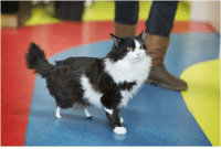 audible-smiles:  laughingsquid: A Beautiful Longhaired Tuxedo Cat Shows Off His New Prosthetic Back Paws After a Severe Injury feeties : audible-smiles:  laughingsquid: A Beautiful Longhaired Tuxedo Cat Shows Off His New Prosthetic Back Paws After a Severe Injury feeties