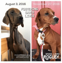 Memes, The Worst, and Pitbull: August 3, 2016  Ove  ING  FOSTER  ES  SAM  LTV  macsmission.org  semopets.org  r 27, 2016  SPAYED. 15YRS  ROGUE Our sweet girl Roguey went to the shelter to get herself adopted. We teamed up with our local shelter to save 13 of these terribly neglected Weiner dog mixes that came into the shelter in HORRIFIC conditions. Rogue was by far the worst of the group, literally dying in front of us. She stayed with us the longest out of the three we fostered/sponsored here at the Marshall Annex. Rogue got her skin healed, weight gained, entropian eye surgery, and spayed in our care thanks to the Marshall Medical Fund. She is a very loveable smaller dog, one of the sweetest really I have ever known. She just wants to please and will make someone a wonderful family addition. Teamwork in rescue WORKS just as much as fostering and my shelter has done an amazing job. Please help us share her post so she can find her forever family!! ROGUE IS PITBULL STRONG!!  Love, MacHappyBoy!